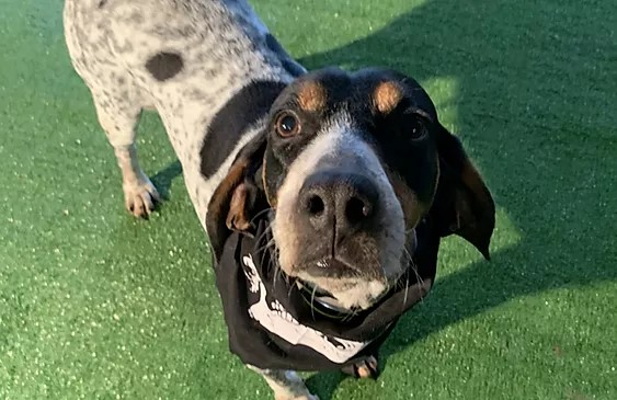Small beagle dog with big black spots and an interesting grey/white pattern at the rear wearing a black bandanna