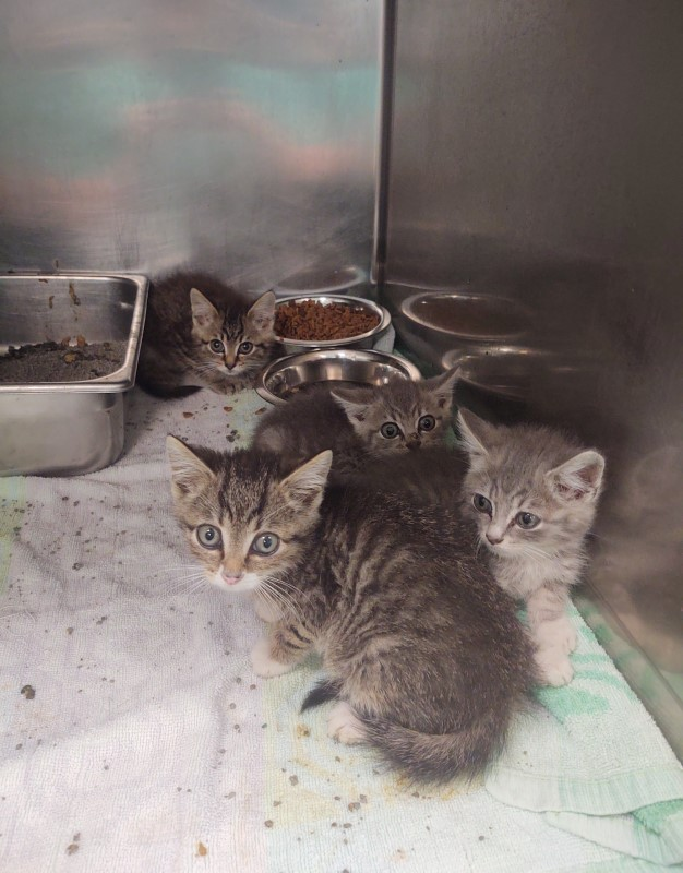 Four grey kittens huddled together inside their kennel at Petworks Kingsport animal shelter