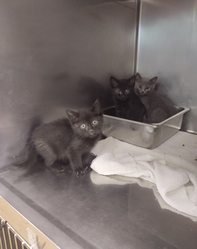 Two grey kittens and one black kitten