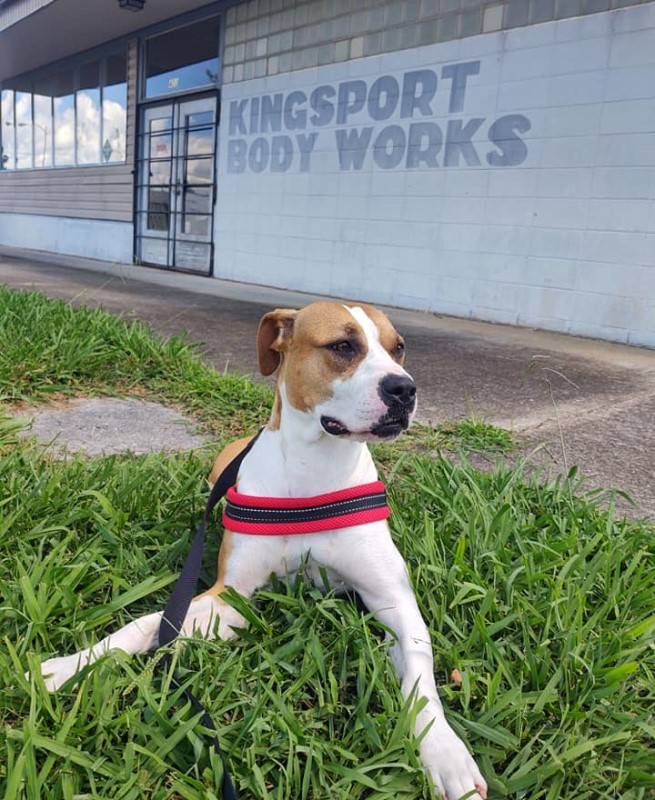 Nala, a one year old brown and white pit bull mix, who looks somewhat perplexed about ending up at the shelter
