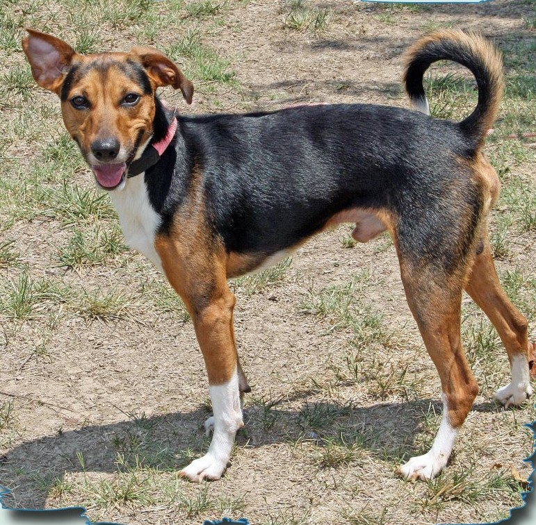 Small beagle dog with a black coat in the center of his body and brown on his face, tail, and legs (his paws are white as if he's wearing socks)