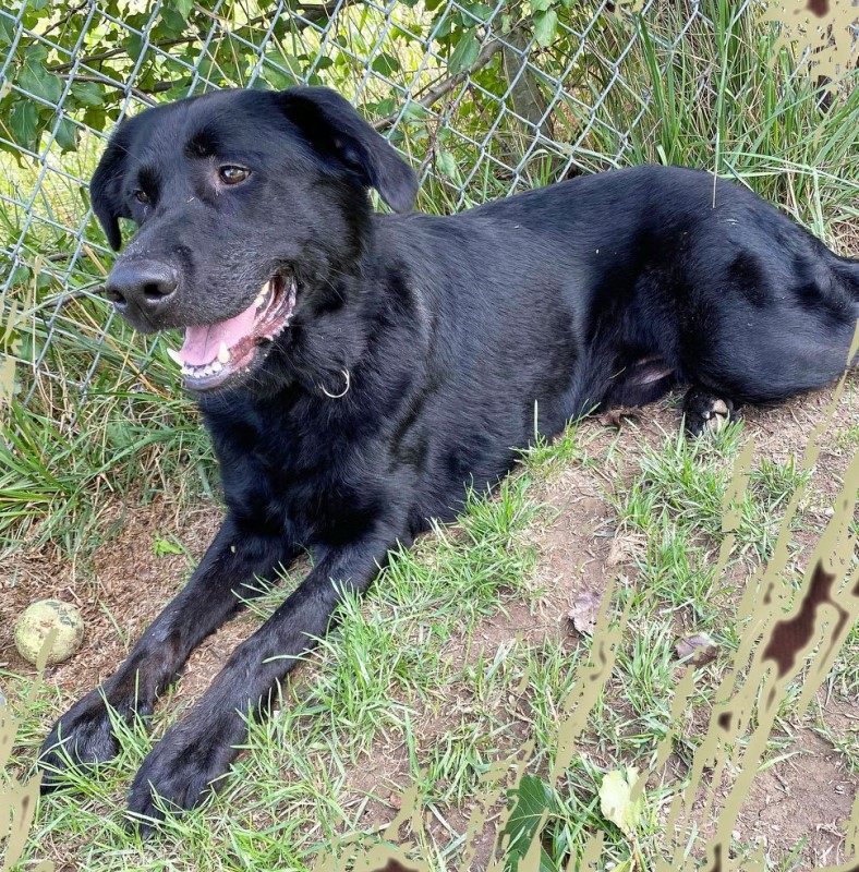 Black lab/shepherd mix laying in the grass next to a fence, smiling as if he just met his soulmate for the first time