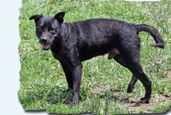 Black one year old male lab mix named Titan in the play yard at Petworks Kingsport, TN animal shelter