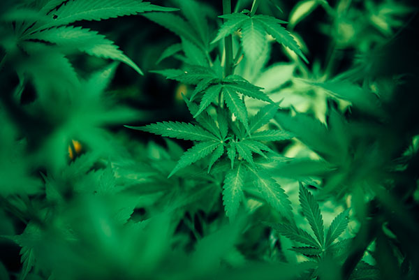 AIS S2 26 | AI In Cannabis