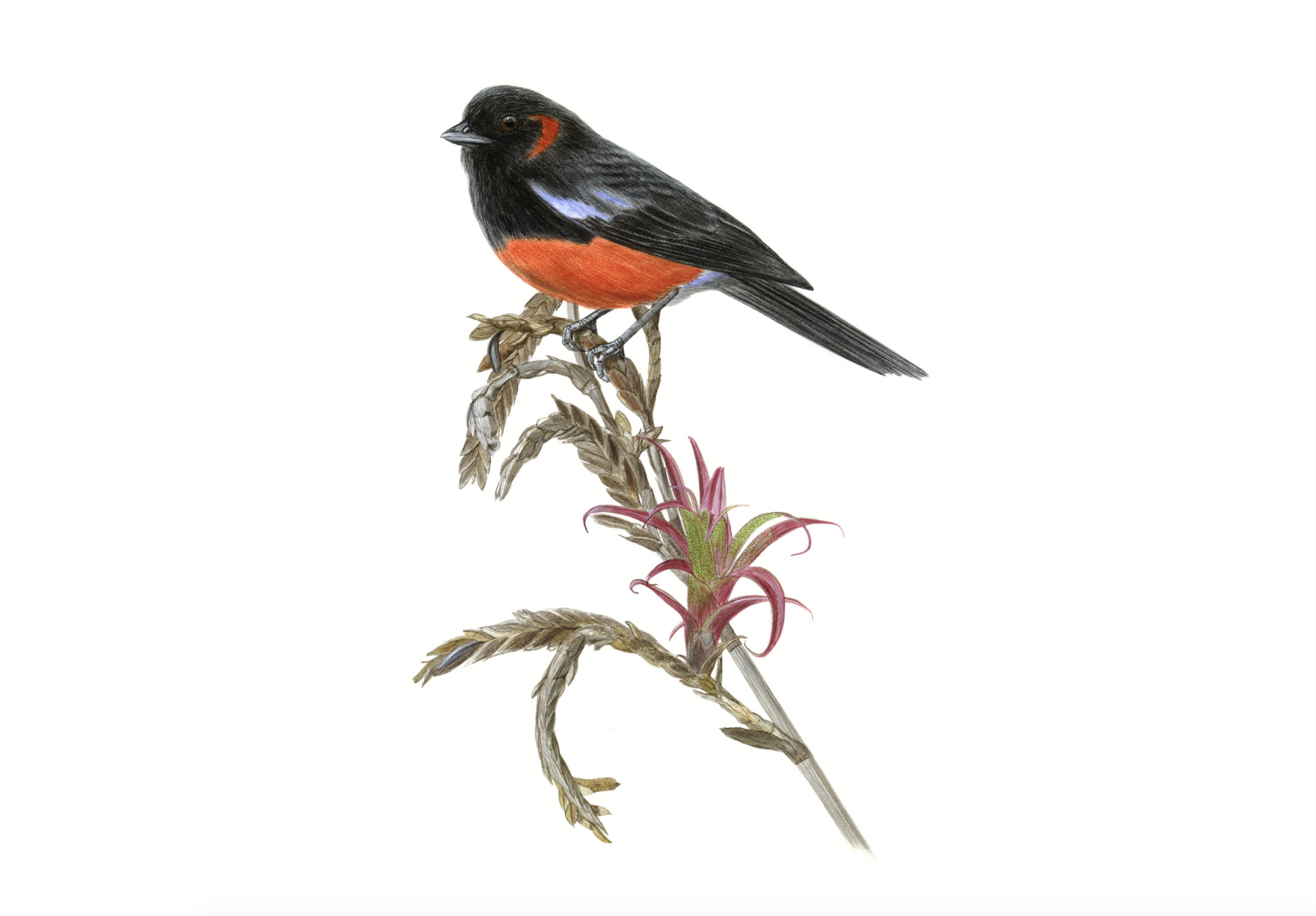 Black Red Tanager