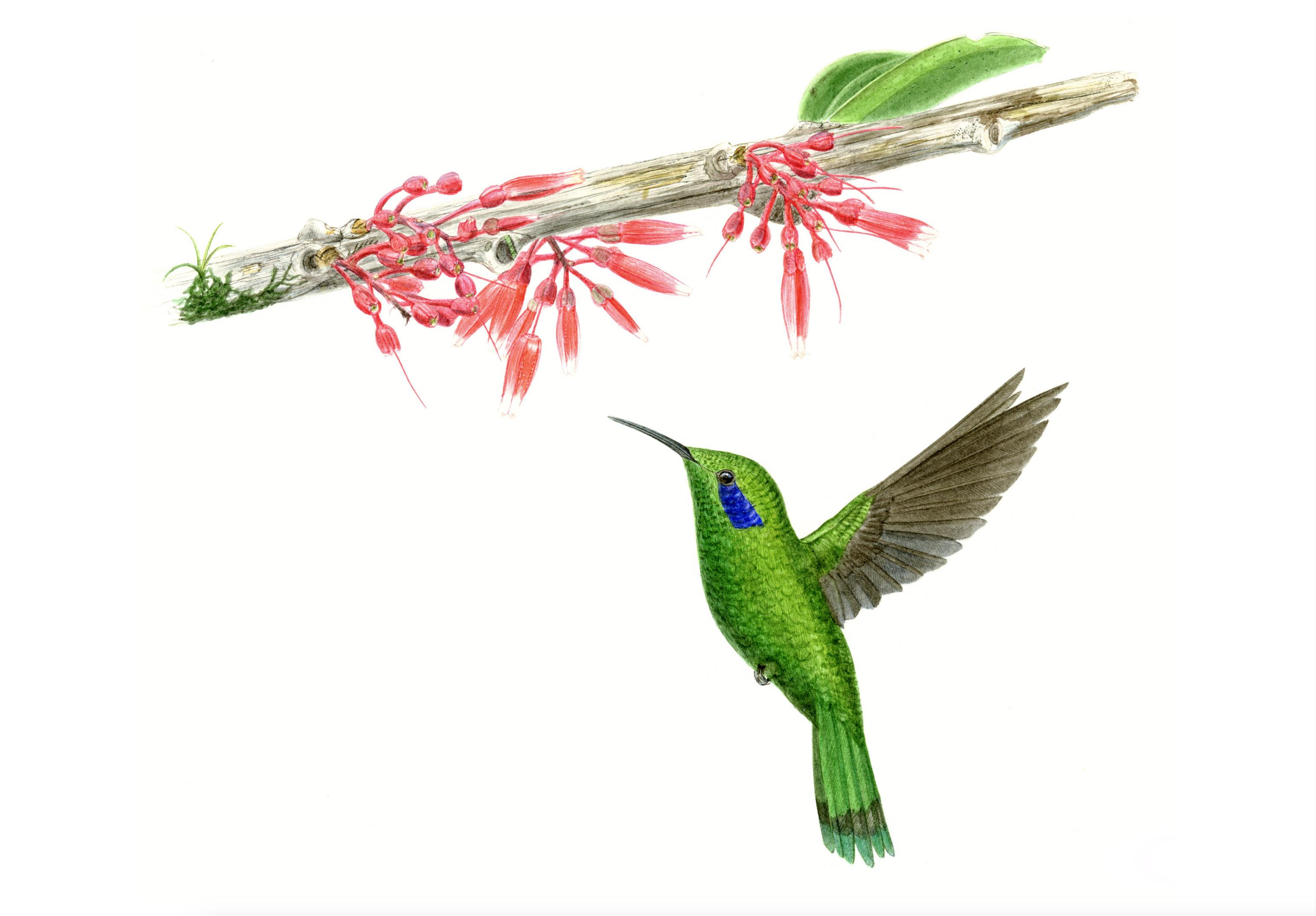 Kolibri Ericaceae