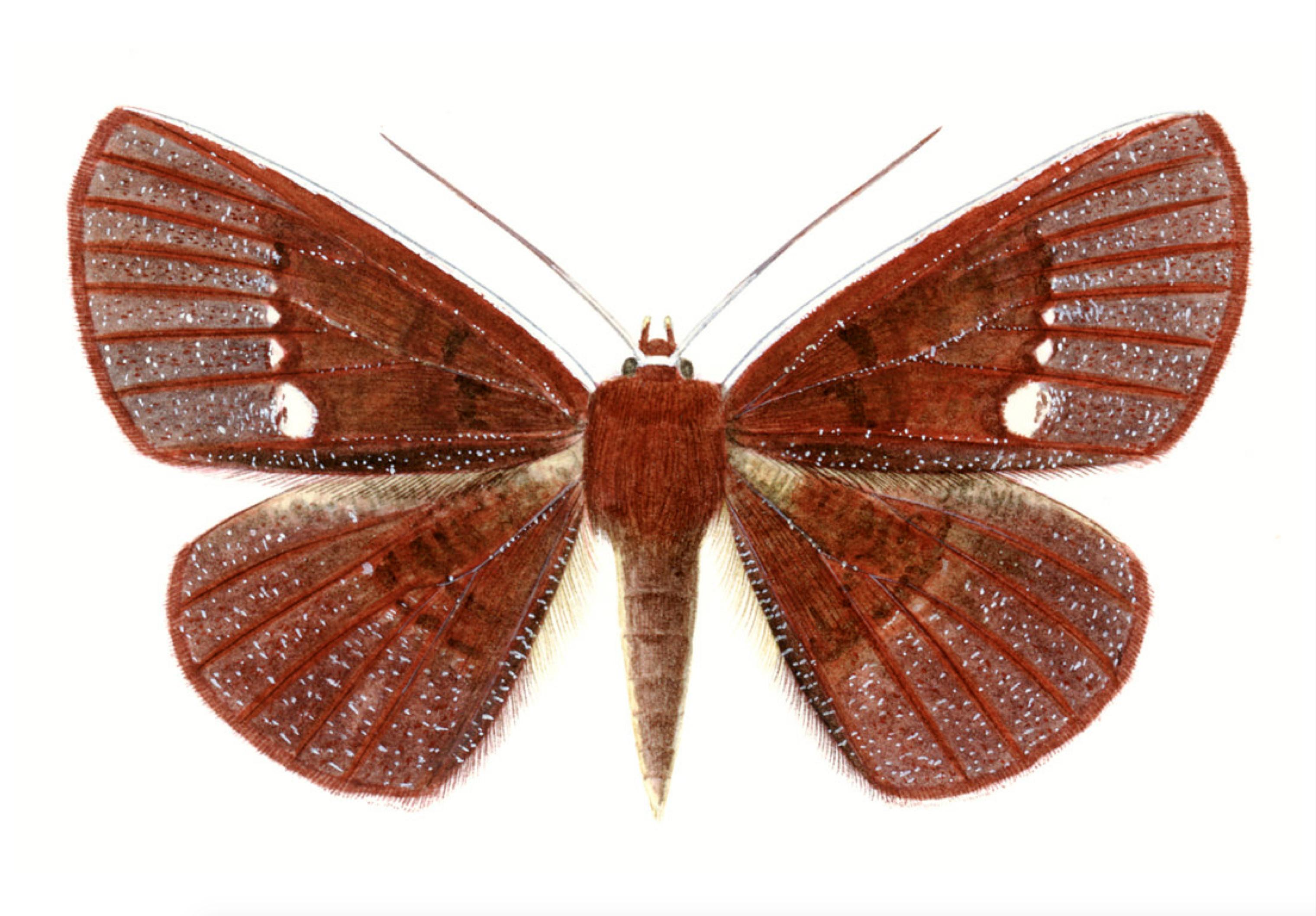 Oenoptila Anetteae