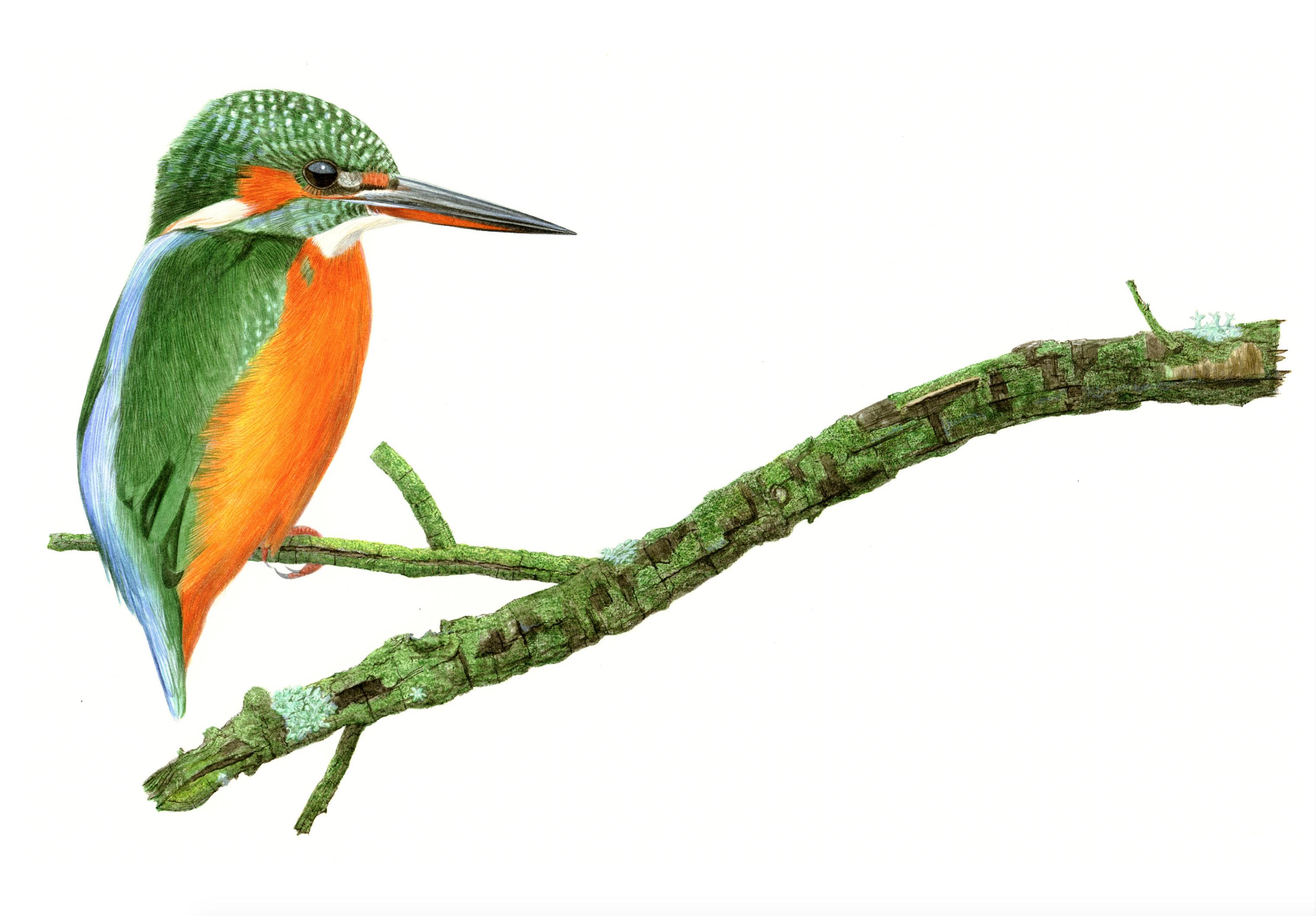 Eisvogel grün
