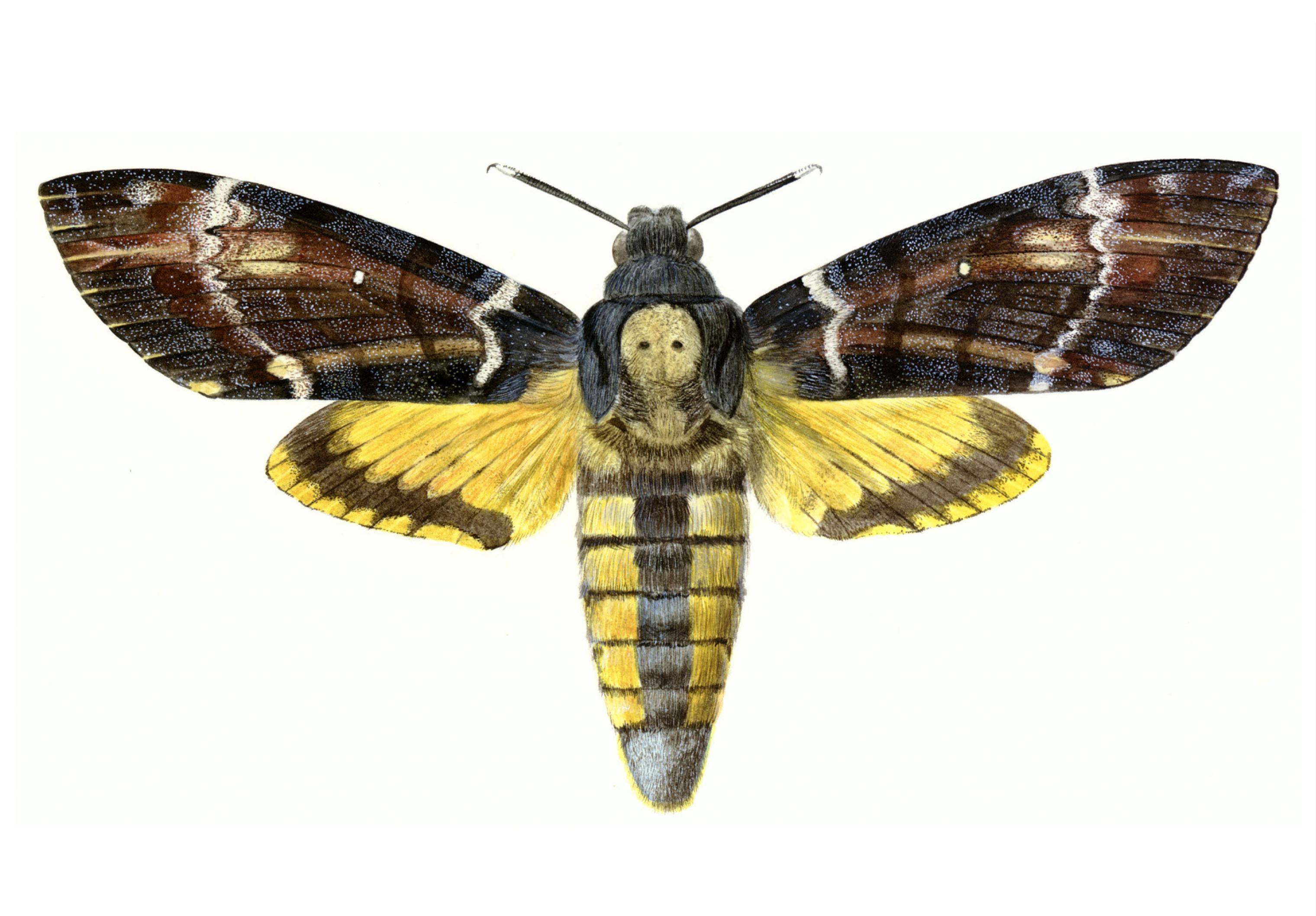 Acherontia Atropos