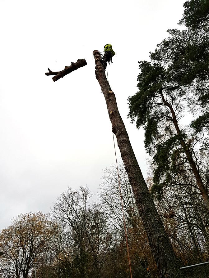 Sektionskapning av träd