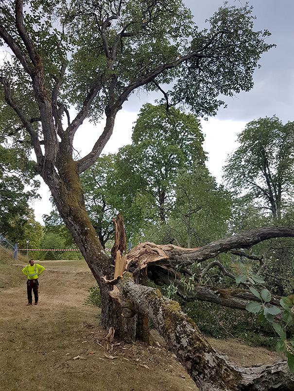 Riskbedömning av skadat träd