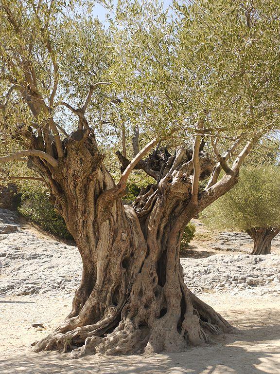 arbre olivier feuille ciel bleu tronc terre seche