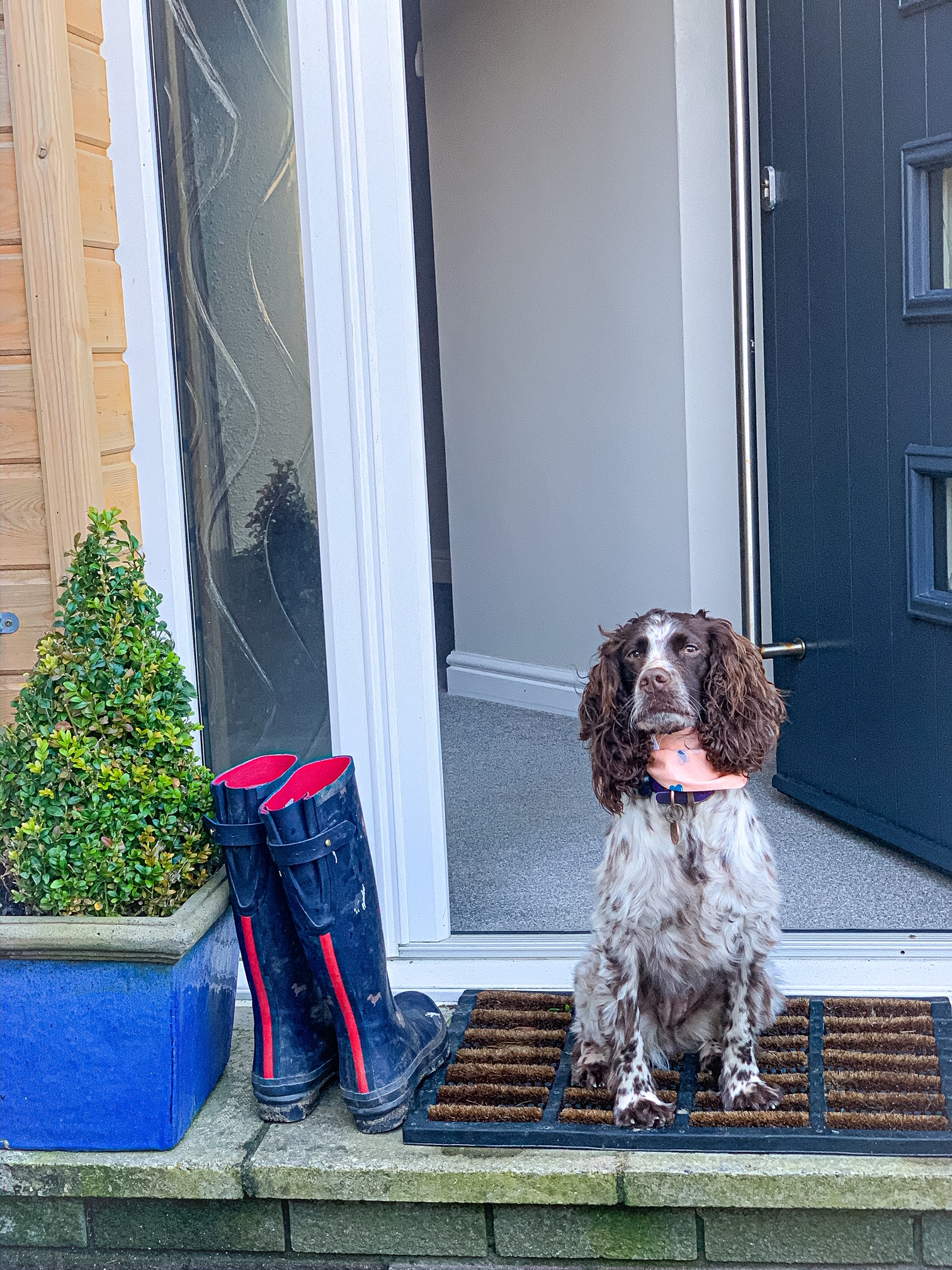 Spaniel sits on doorstep of Gwelmor holiday home in Cornwall