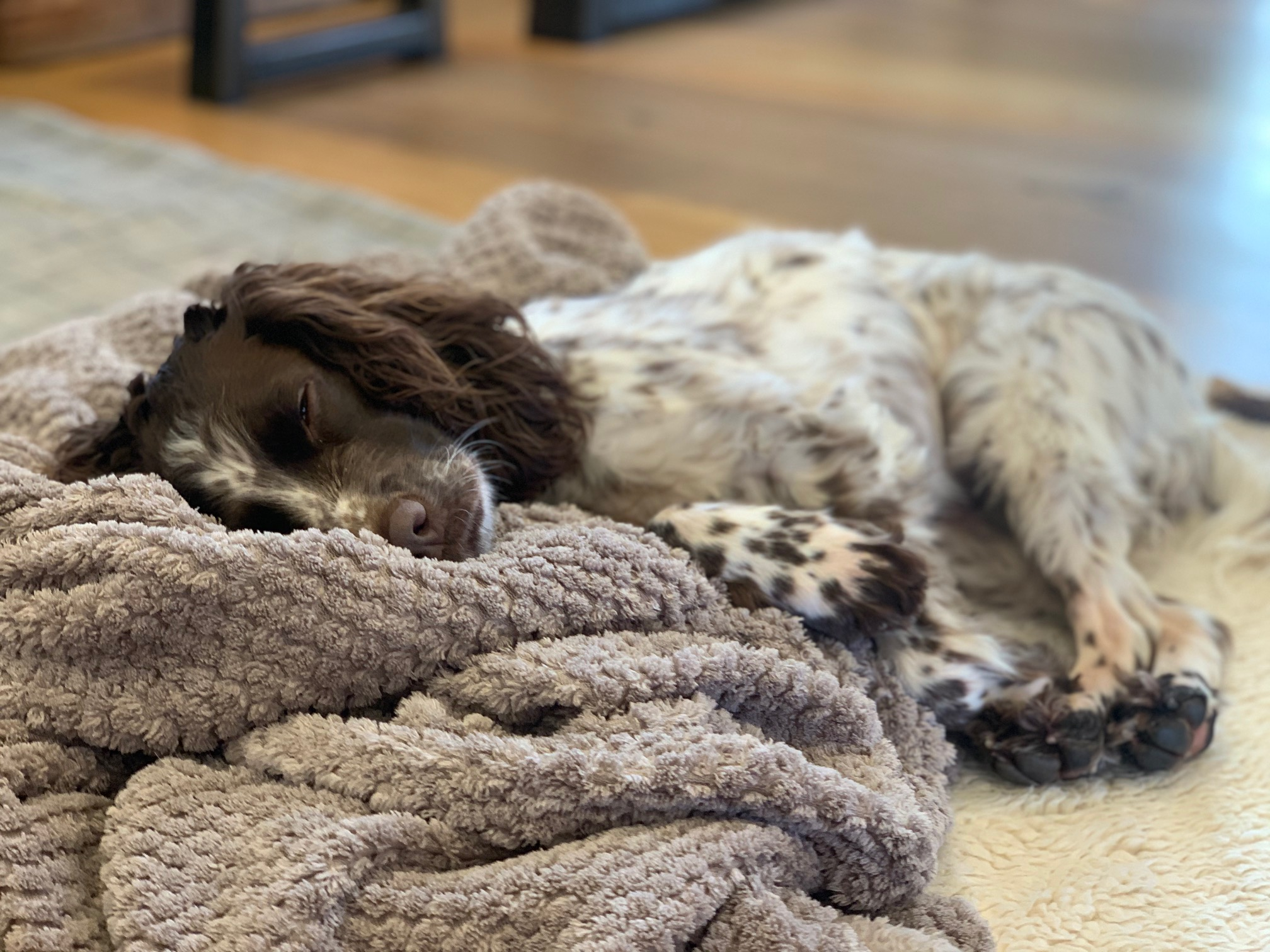 Spaniel takes a snooze on a blanket in the kitchen/diner of Gwelmor dog-friendly holiday cottage in Cornwall