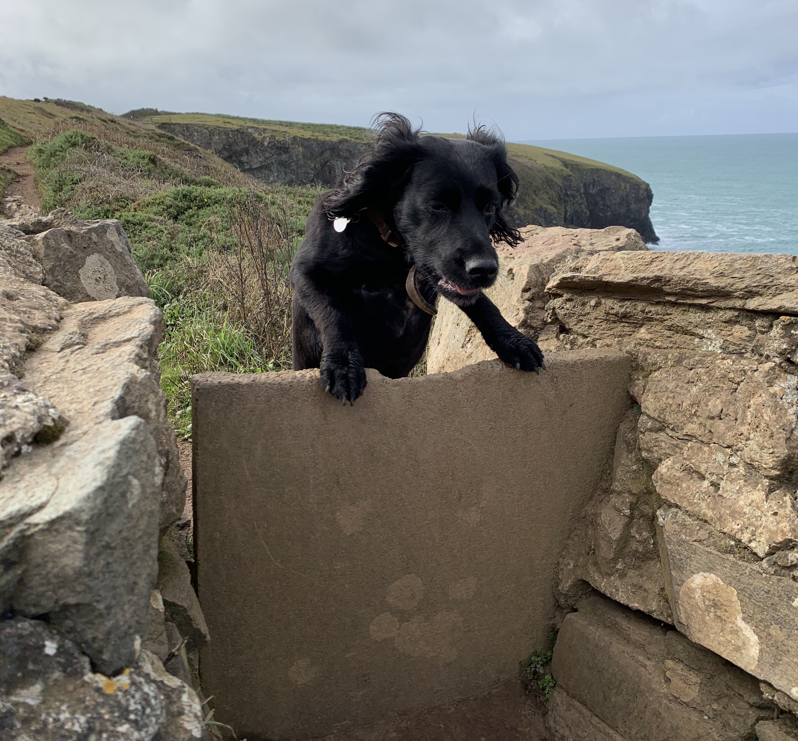 Indy jumps a style on The South West Coast Path from Padstow to Porthcothan