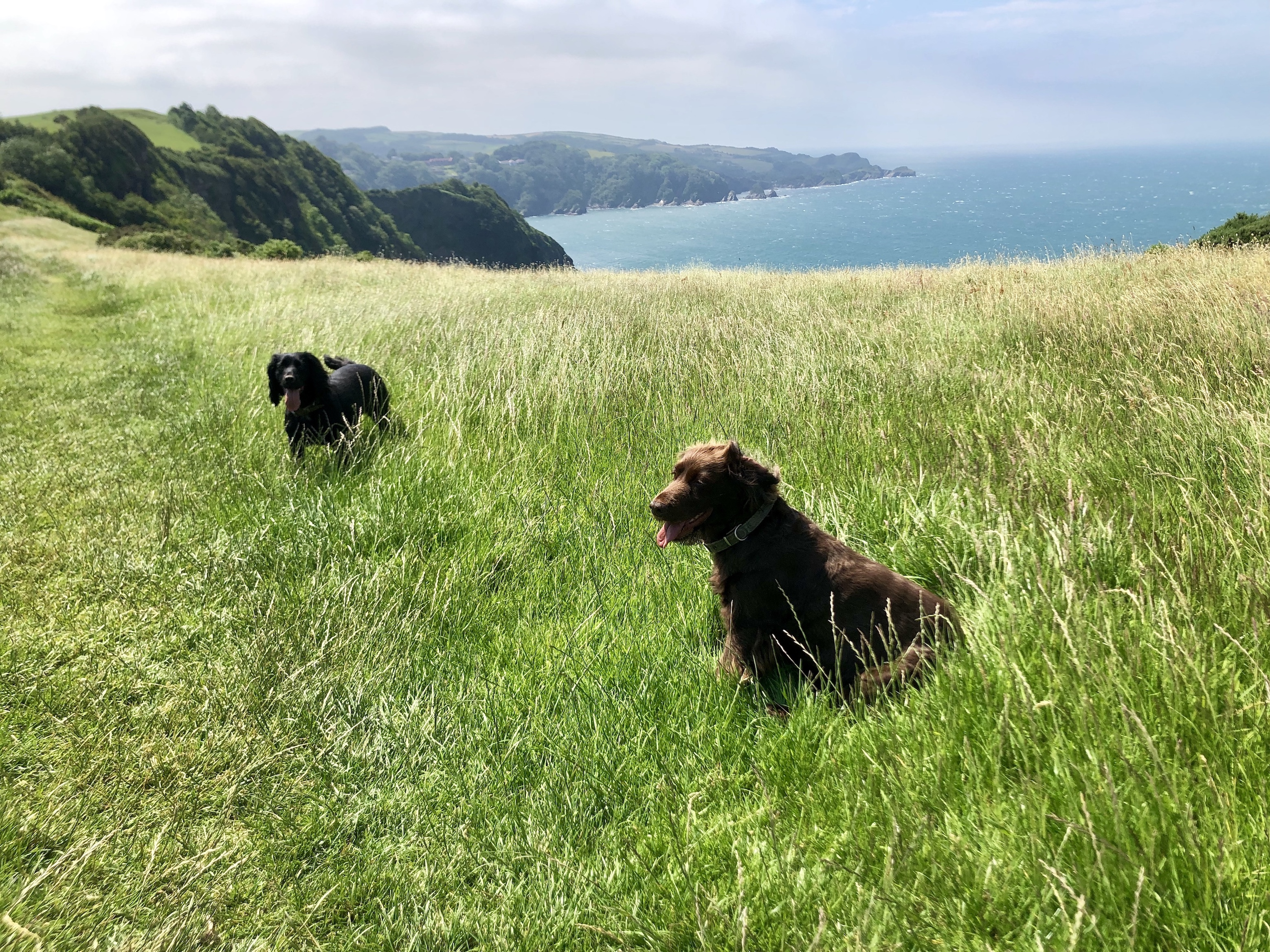 Cocker spaniels Molly and Indy take in the spectacular views on our dog-friendly walk from Heddon's Mouth to Combe Martin on The South West Coast Path whilst staying at Gwelmor in Widemouth Bay