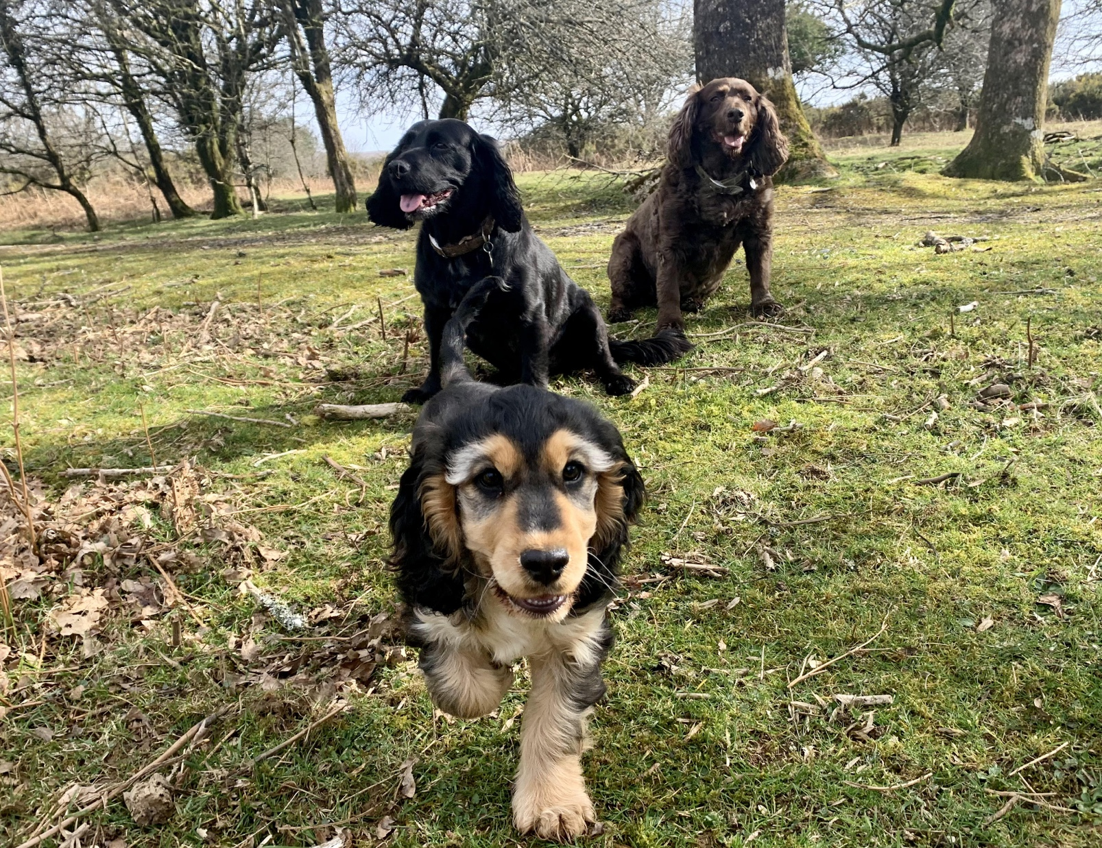 Indy, Molly and Margo, the cocker spaniel family ready to welcome guests at dog-friendly holiday cottage Gwelmor in north Cornwall