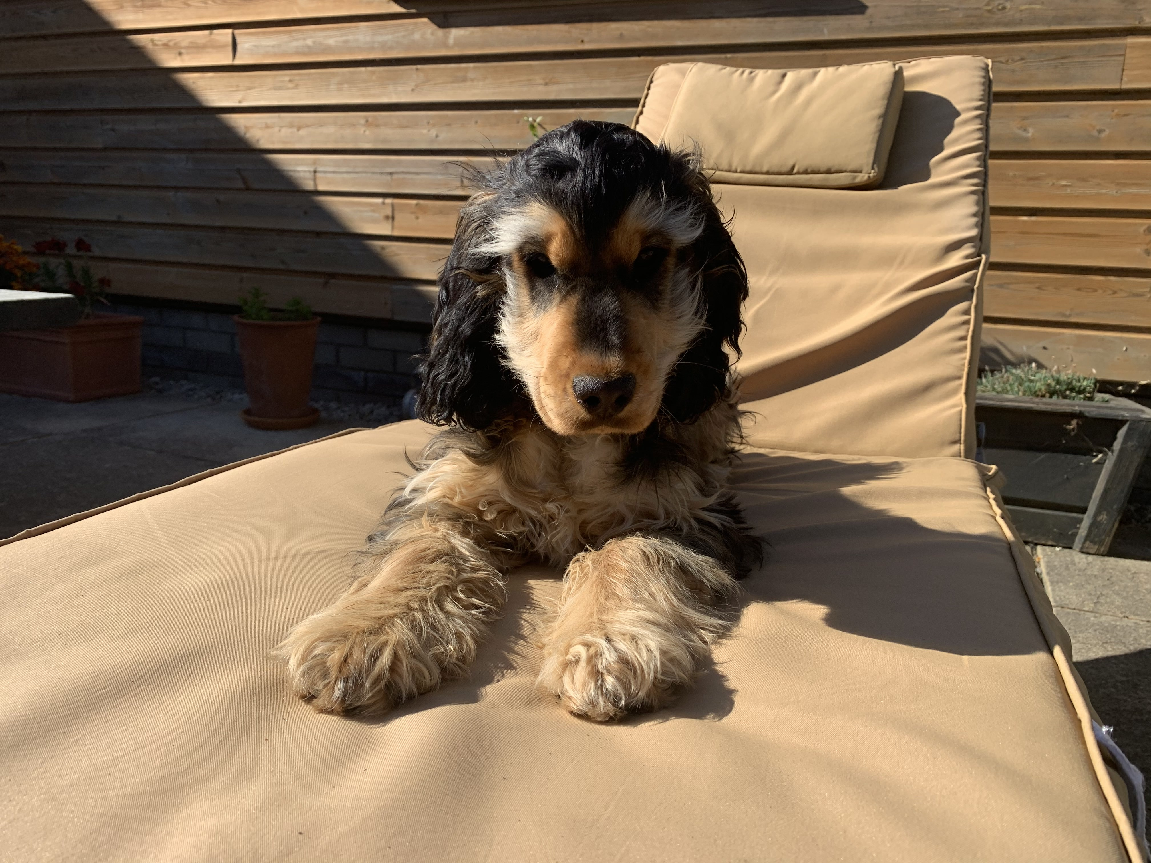 Margo the cocker spaniel pup soaks up the sun on a lounger at Gwelmor dog-friendly holiday cottage in Widemouth Bay