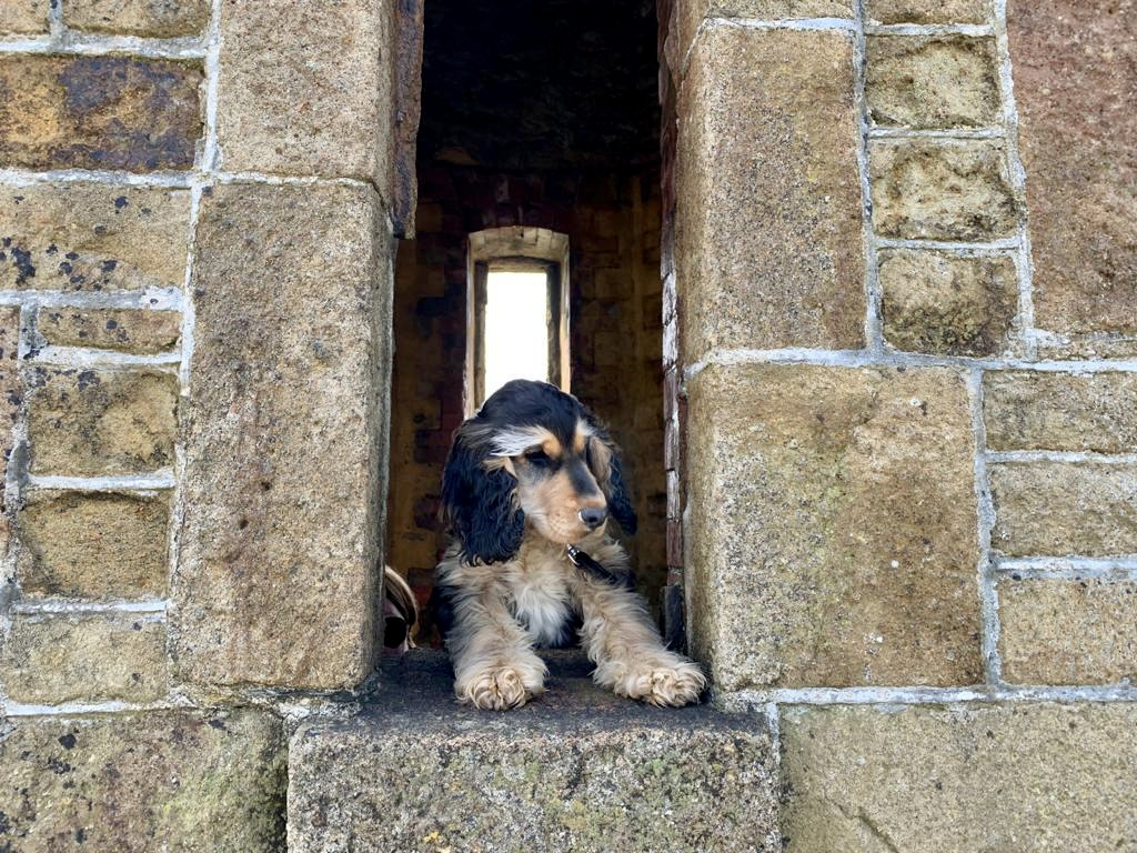 Margo the cocker spaniel admires the view from Bude's iconic Watch Tower