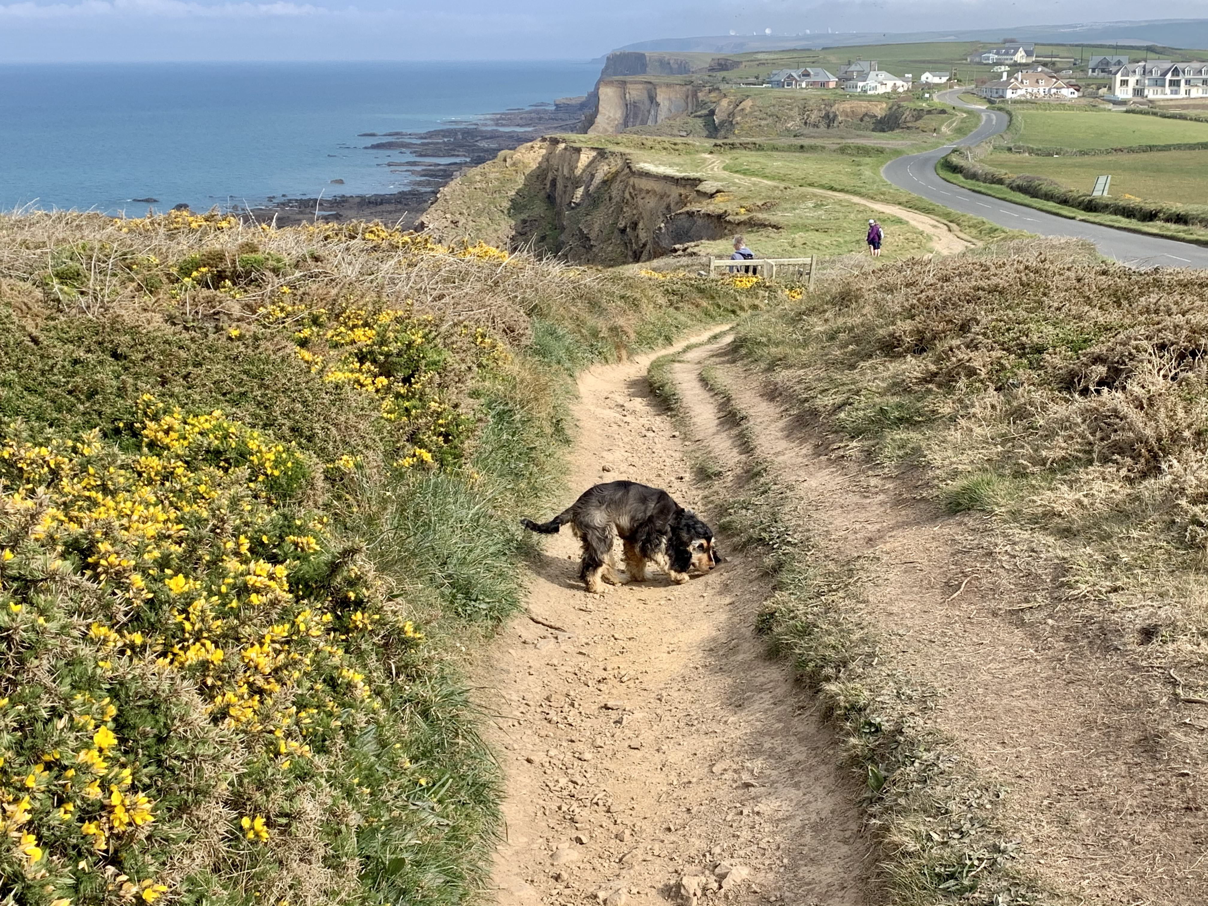Margo sniffs her way along The South West Coast Path at Widemouth Bay