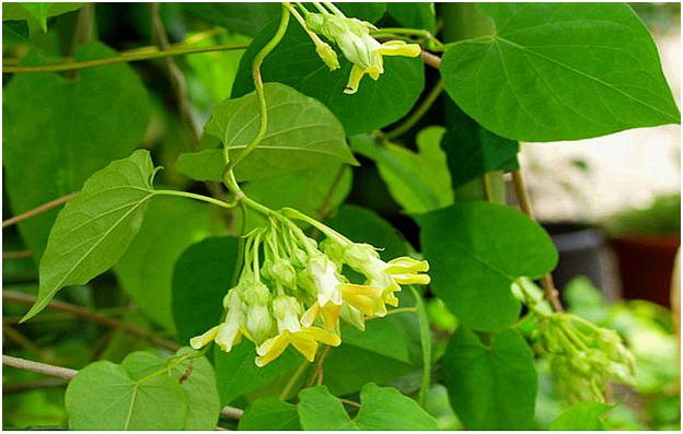 chữa bệnh trĩ ngoại bằng hoa thiên lý