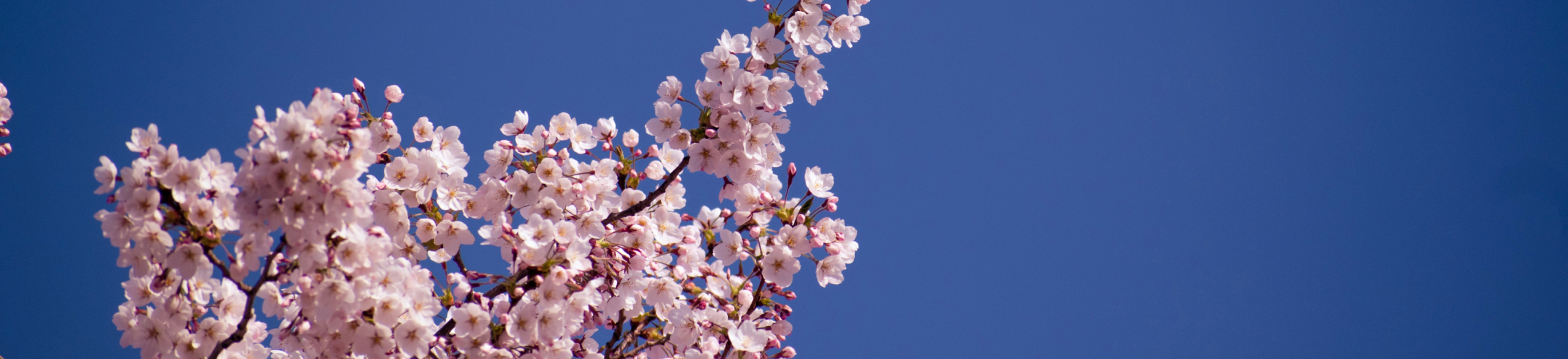 cherry blossoms in the sky
