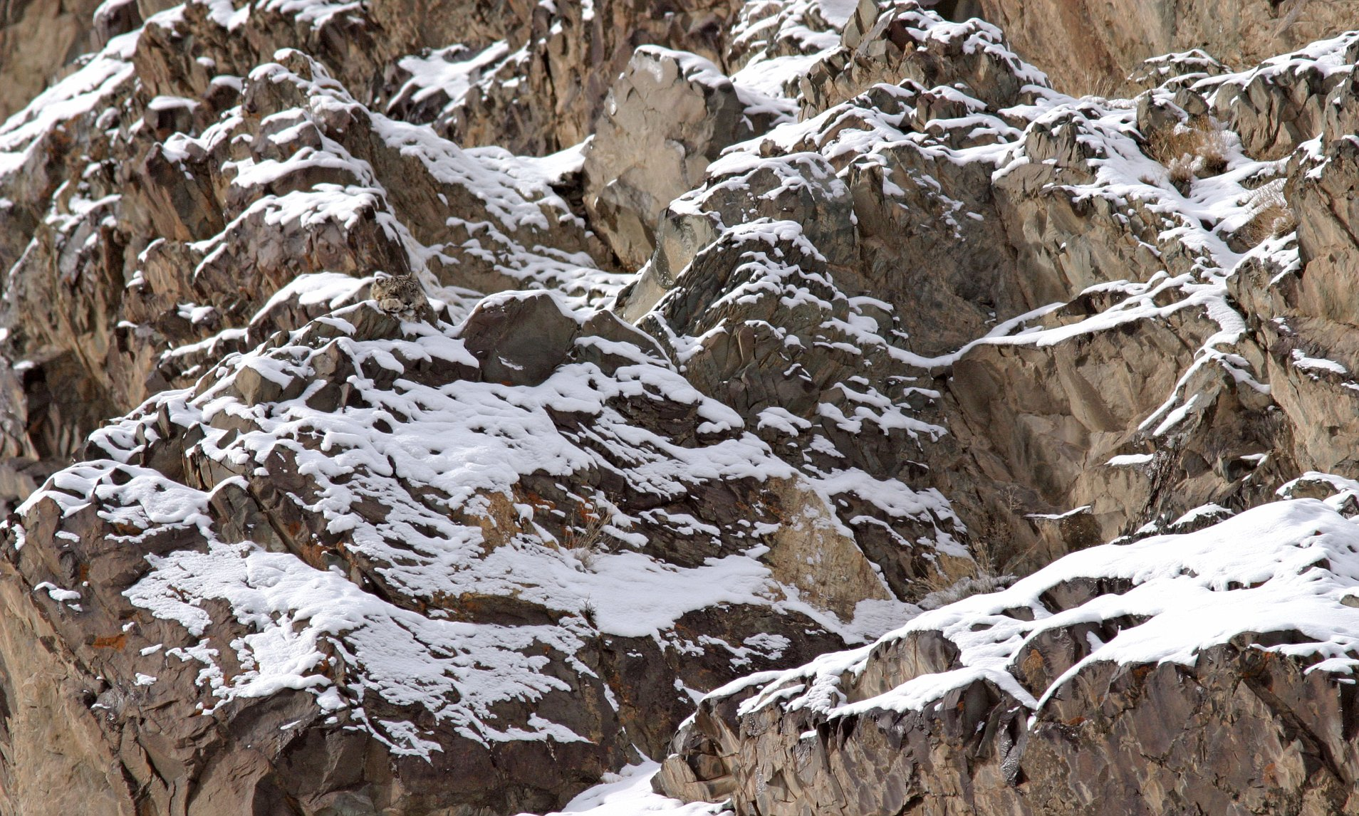 snowy mountain with hidden snow leopard