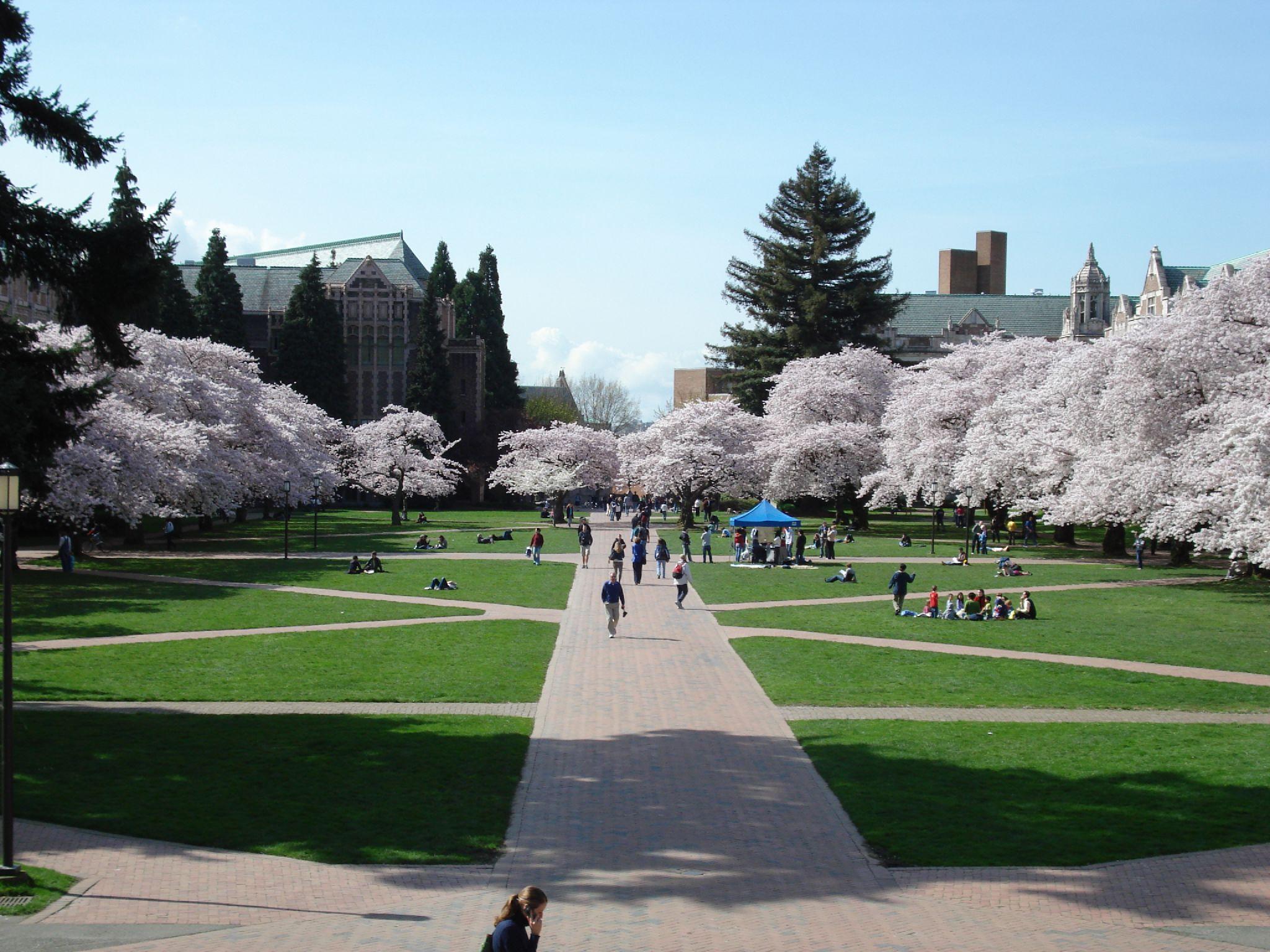 the quad during cherry blossom season