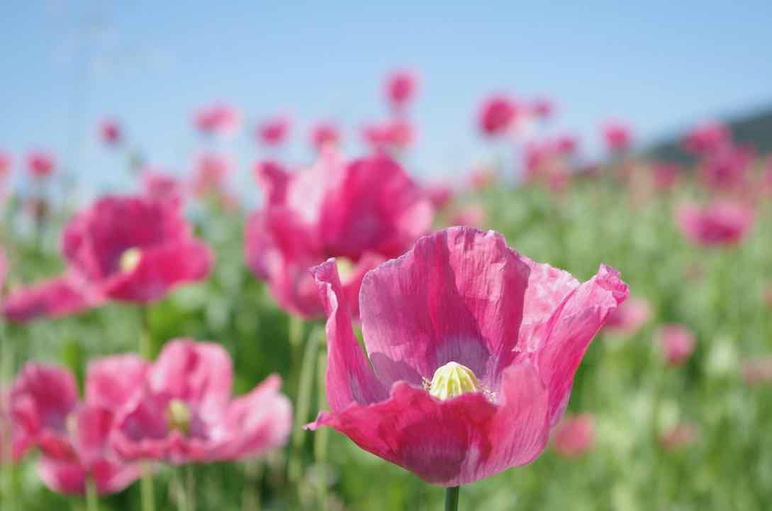 Eine Mohnblüte in einem Mohnfeld.