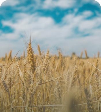 Un campo sembrado con trigo.