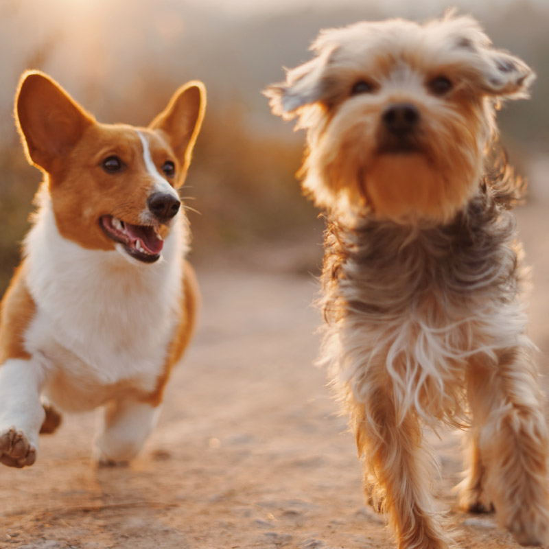 Two dogs—a Welsh Corgi and a Terrier—run happily down a dirt road.
