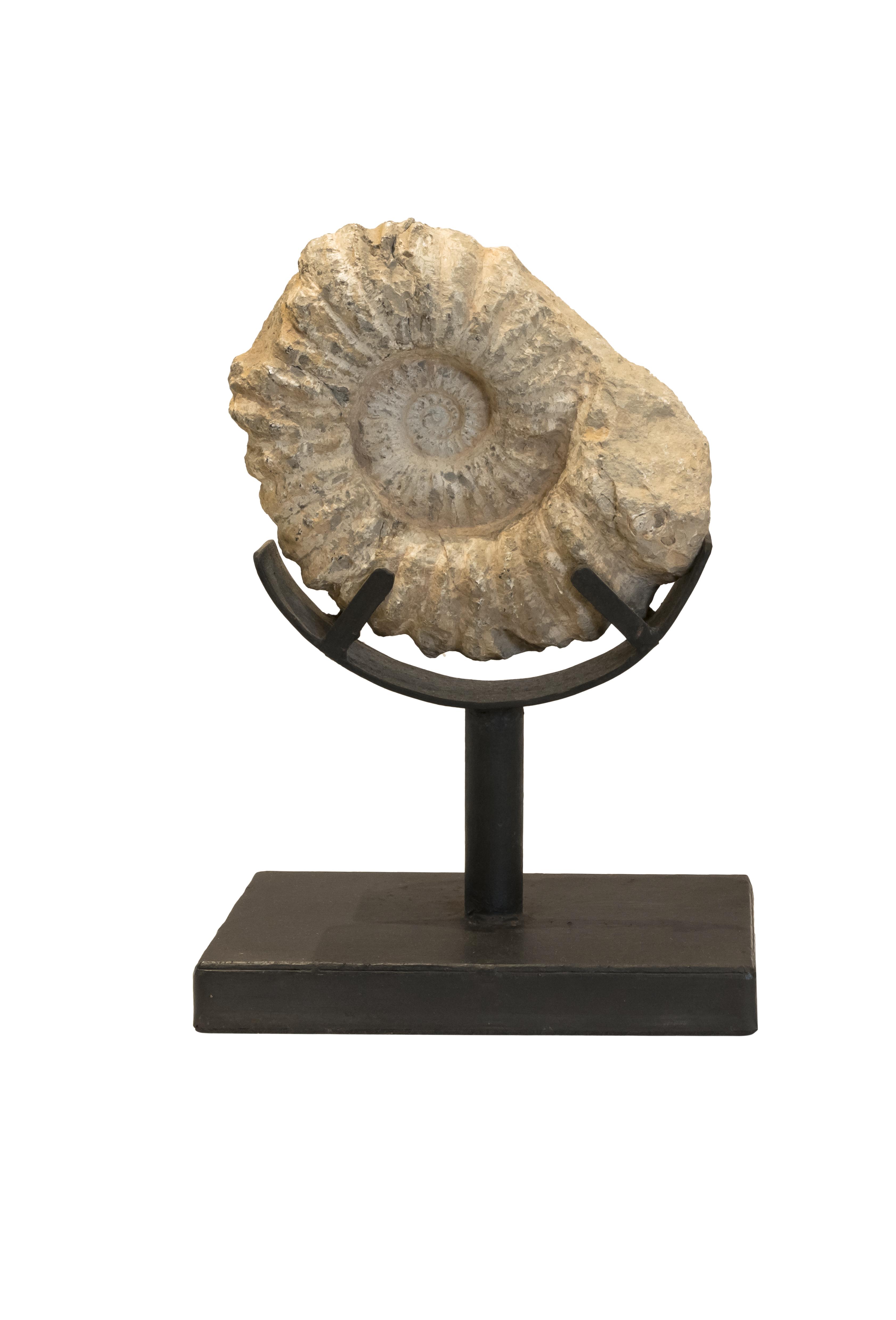 Fósil Amonites