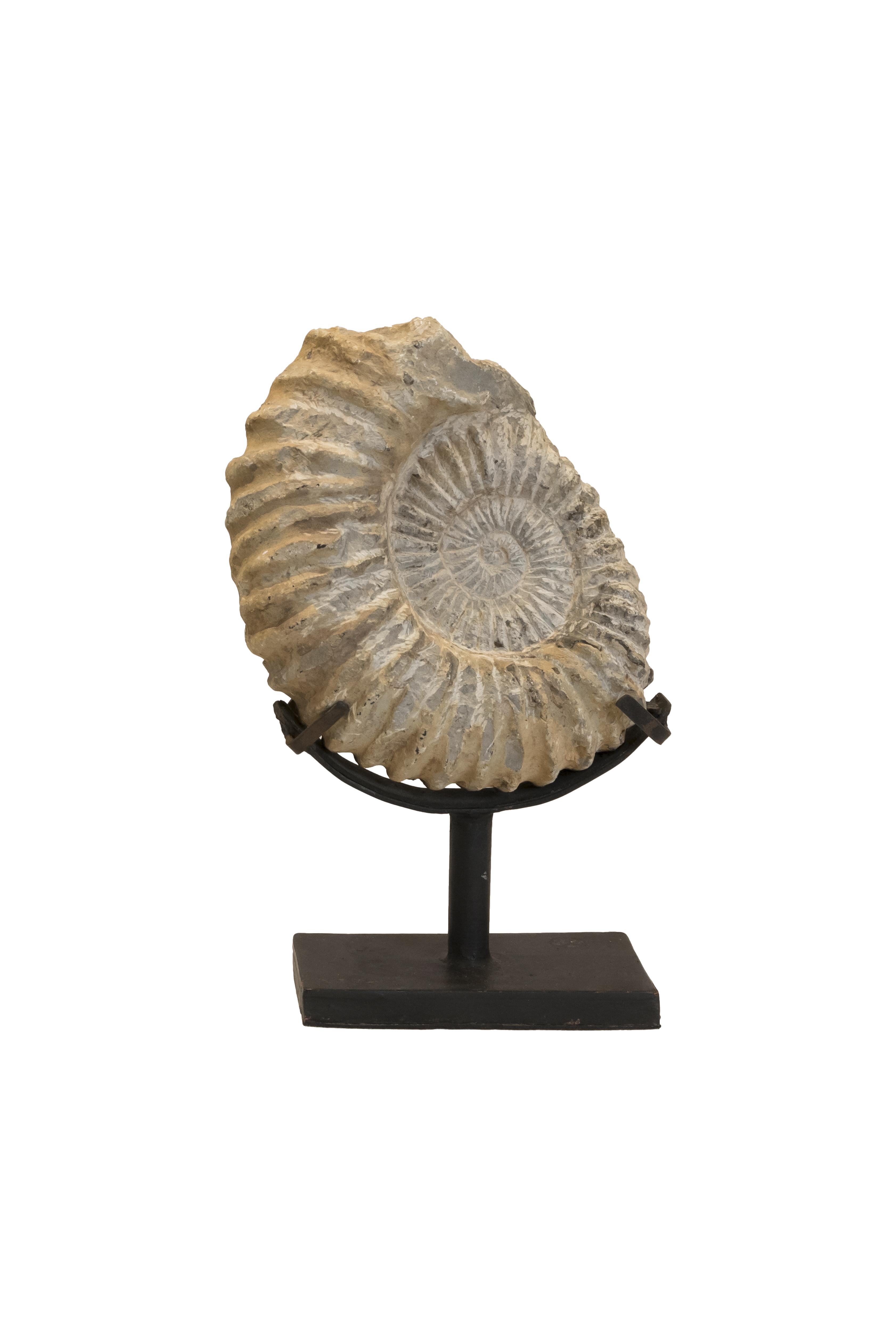 Ammonites Fossil