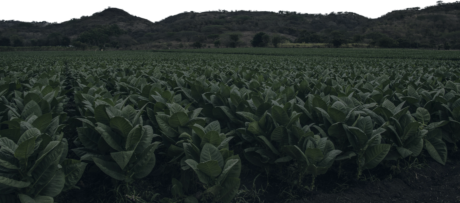 Estelí Nicaragua's near perfect climate and conditions means that it produces some of the world's finest tobacco for our cigars