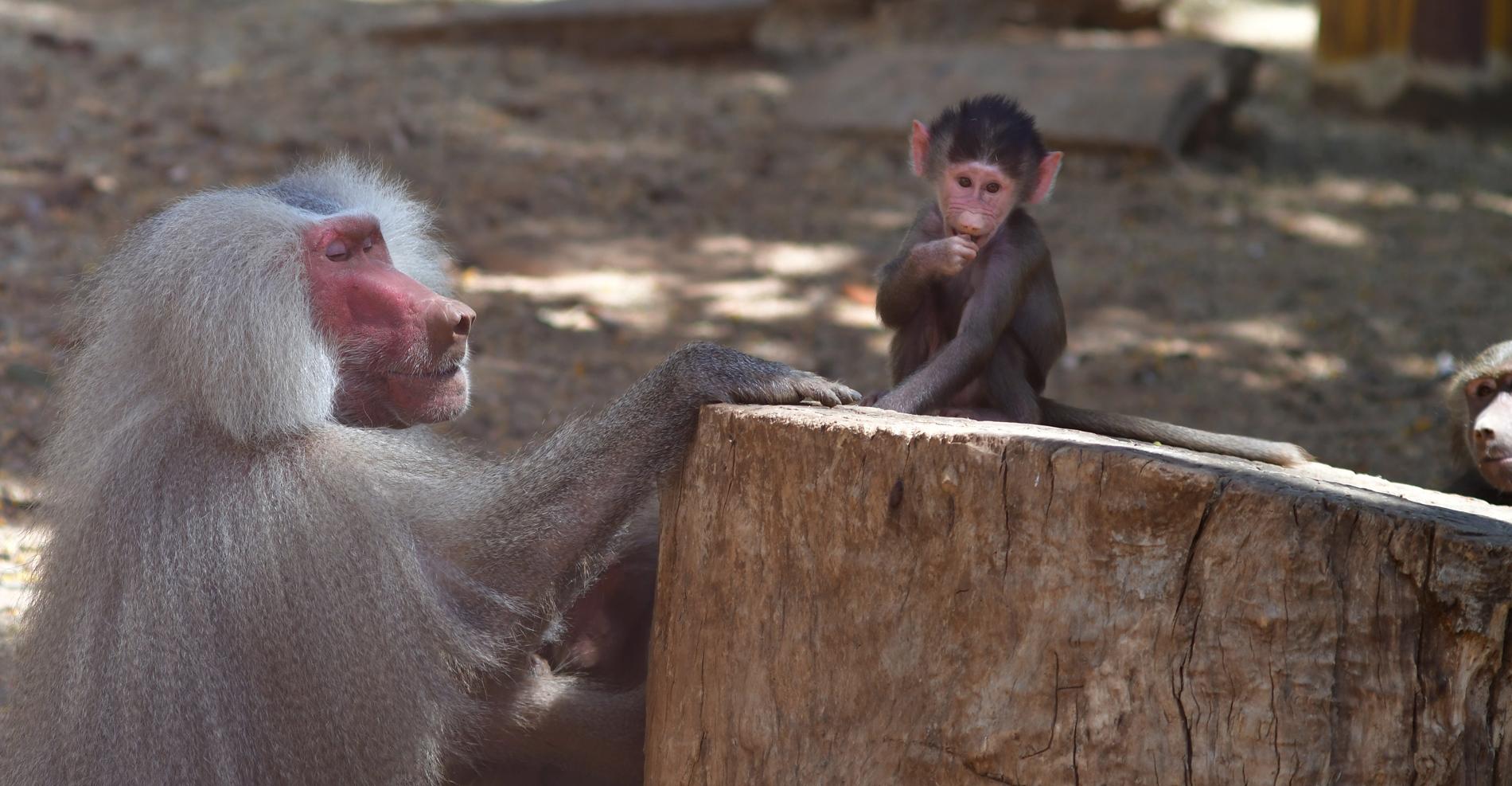 ספארי רמת גן - קופים - יואל שתרוג - אדמה יוצרת - yoel sitruk