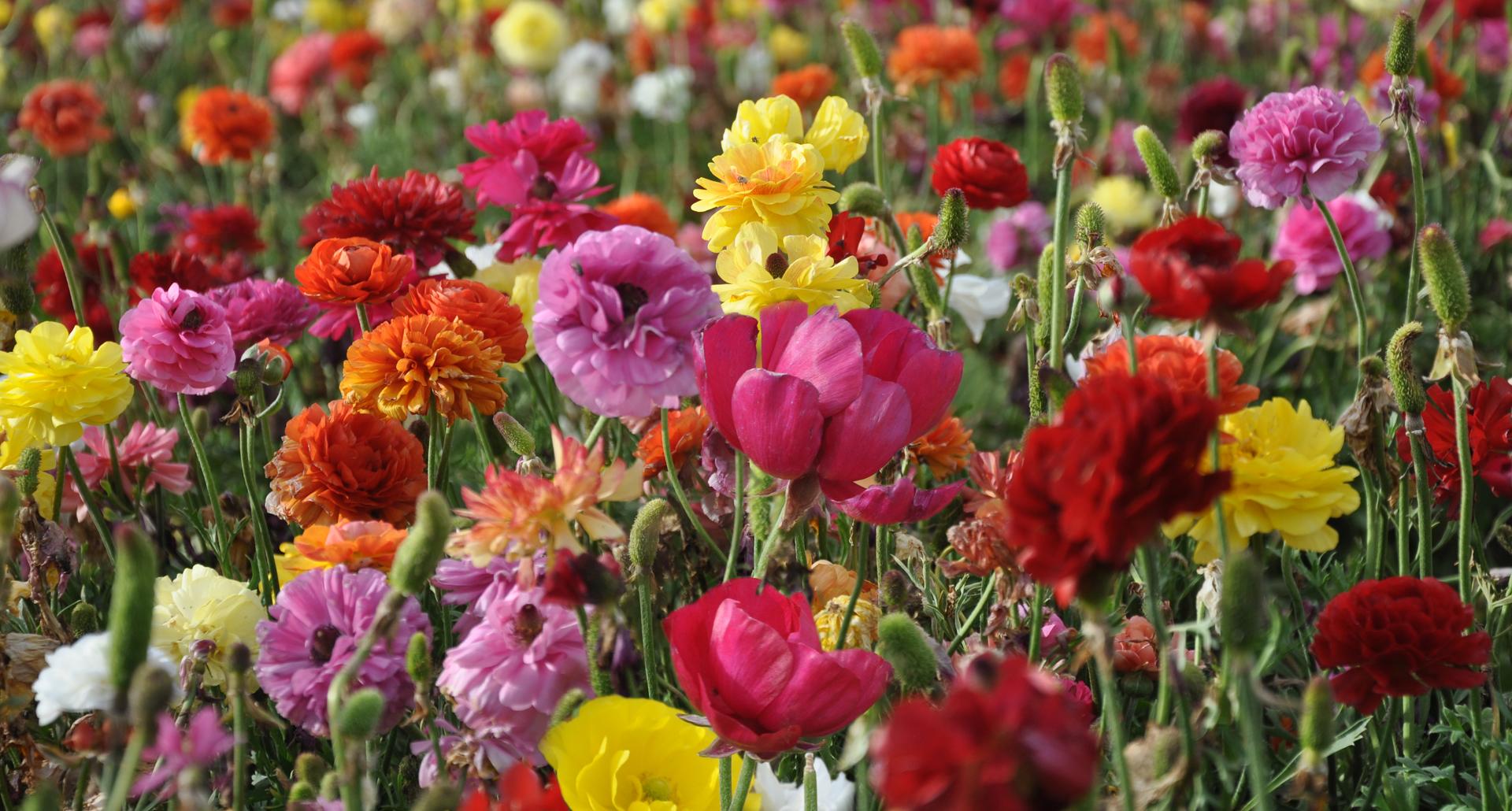 אביב - נוריות - יואל שתרוג - אדמה יוצרת - yoel sitruk