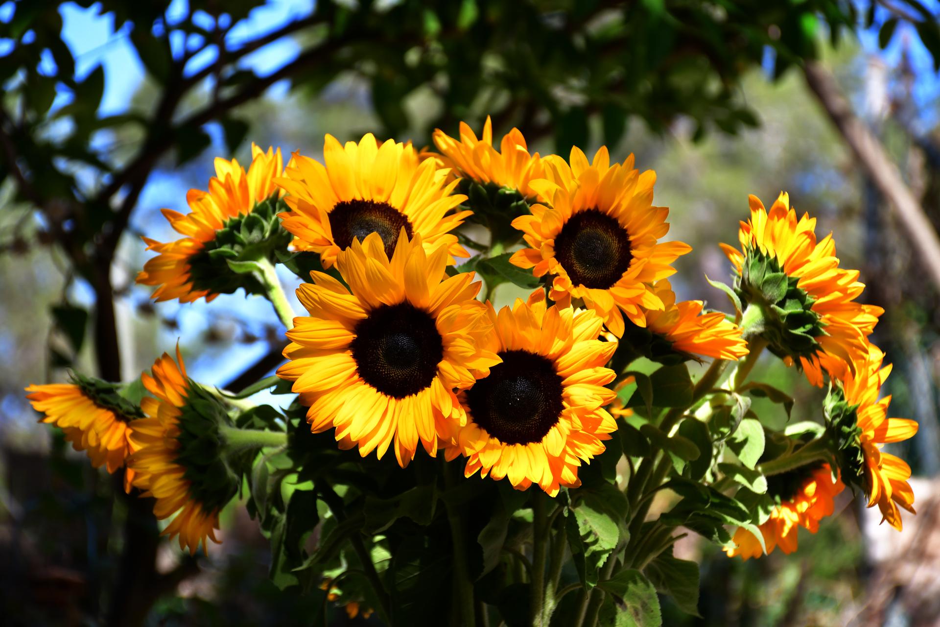 צהוב - פרחים - חמניות- יואל שתרוג - אדמה יוצרת - yoel sitruk