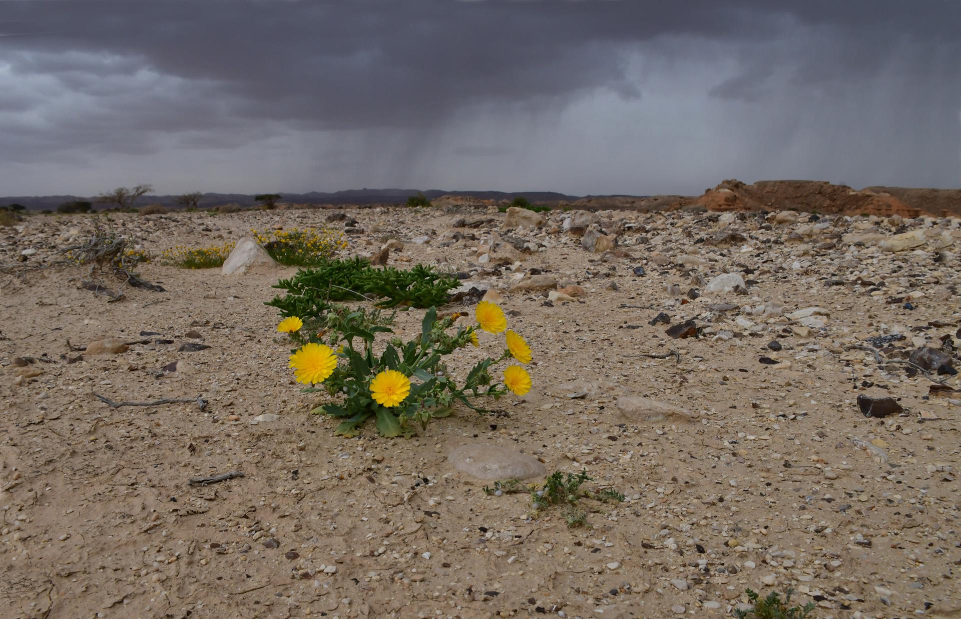 המדבר מדבר - ערבה - יואל שתרוג - אדמה יוצרת - yoel sitruk