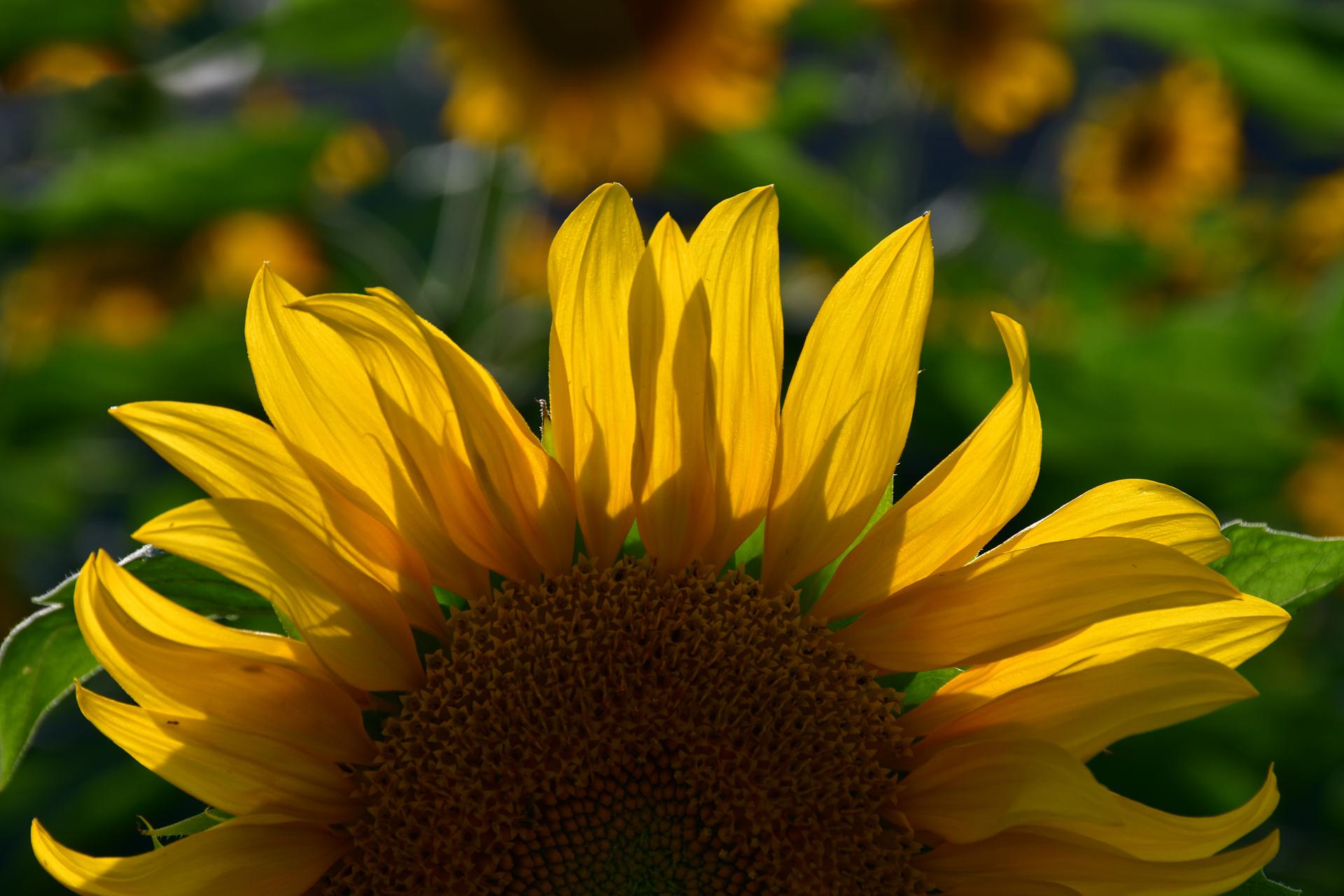 צהוב - שמש - חמנייה- יואל שתרוג - אדמה יוצרת - yoel sitruk