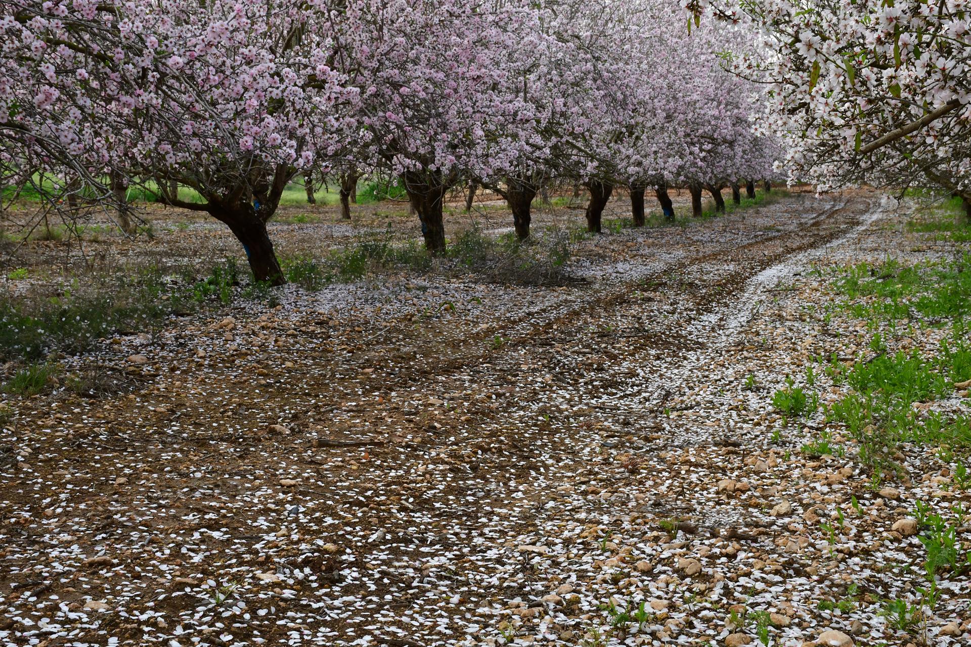 יואל שתרוג - אדמה יוצרת - yoel sitruk- אביב - פריחות - שקד - צילום בטבע - מאקרו