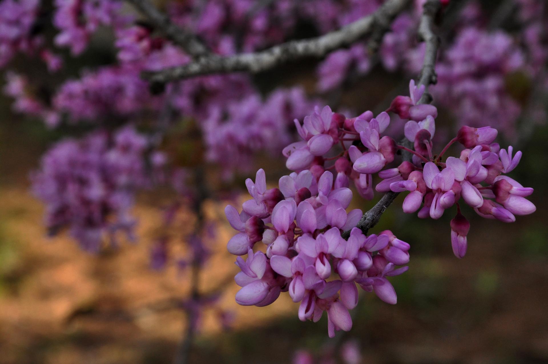 יואל שתרוג - אדמה יוצרת - yoel sitruk- אביב - פריחות - כליל החורש - צילום בטבע - מאקרו