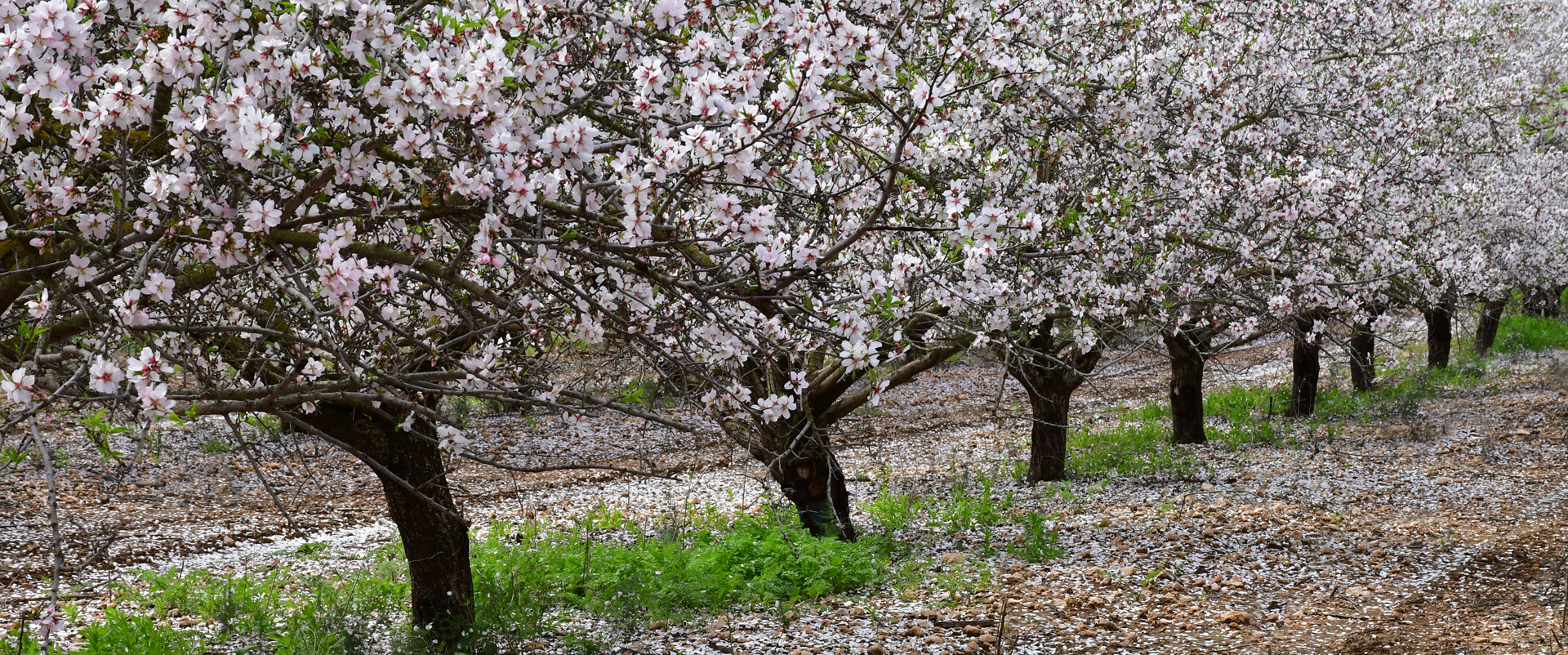 קצר פה כל כך האביב - יואל שתרוג - אדמה יוצרת - מטע שקדים