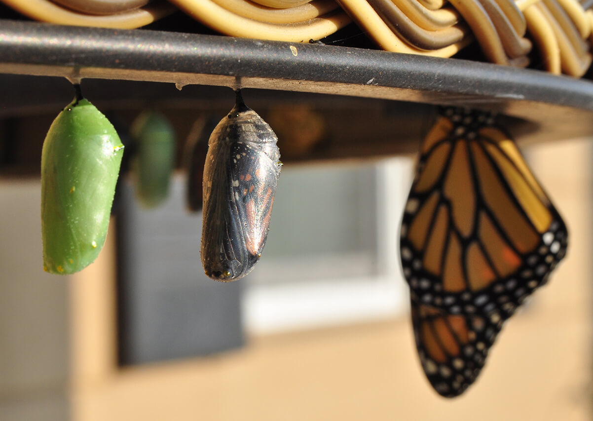 Butterfly crysalis
