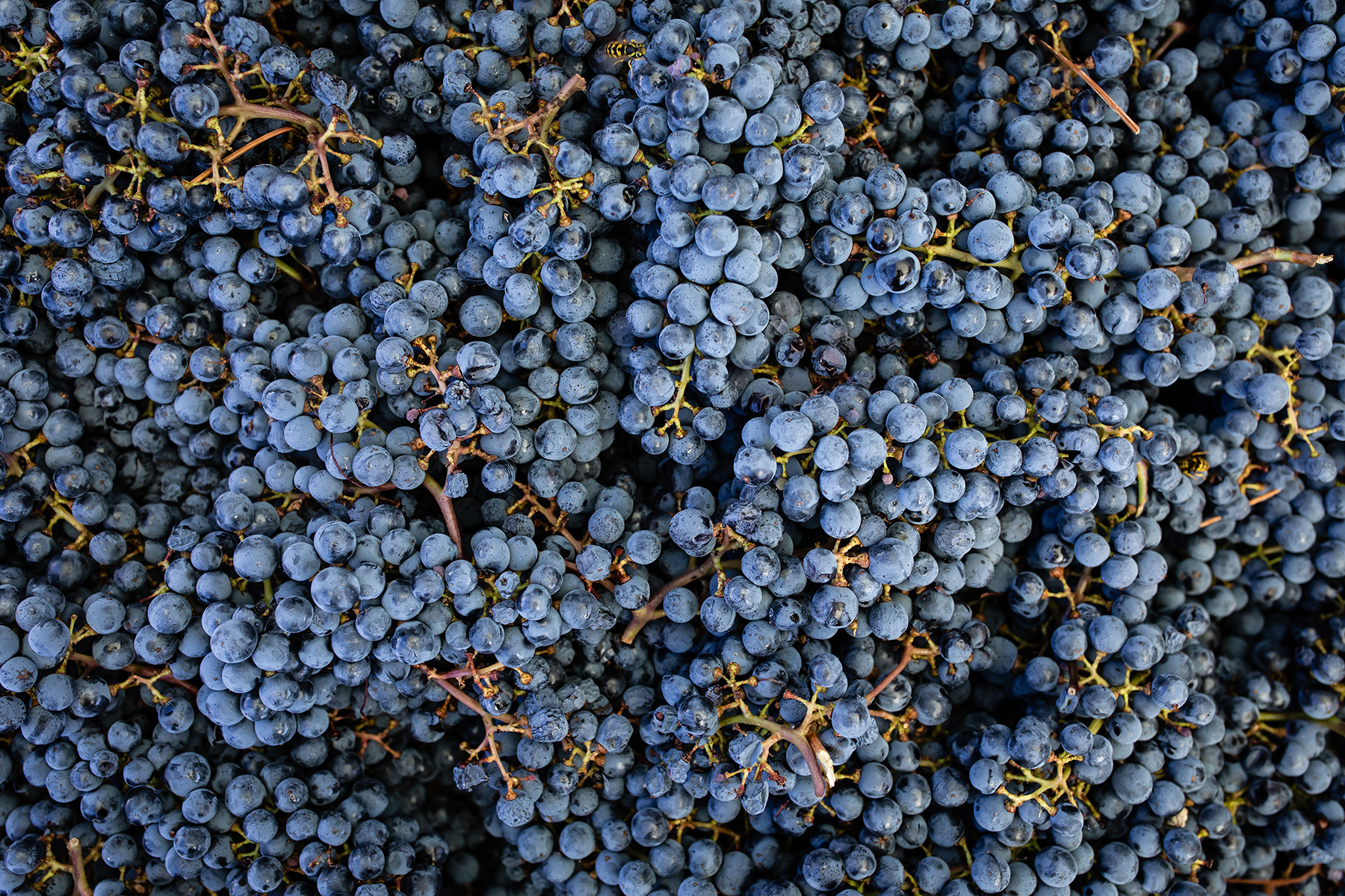 Sea of blue grapes