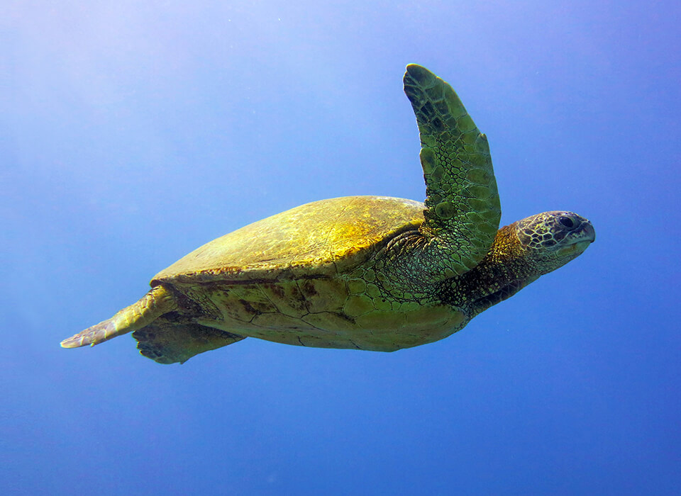 turtle seen while scuba diving in Hawaii