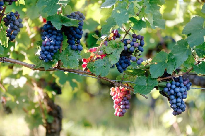 Terraview: tempranillo grapes