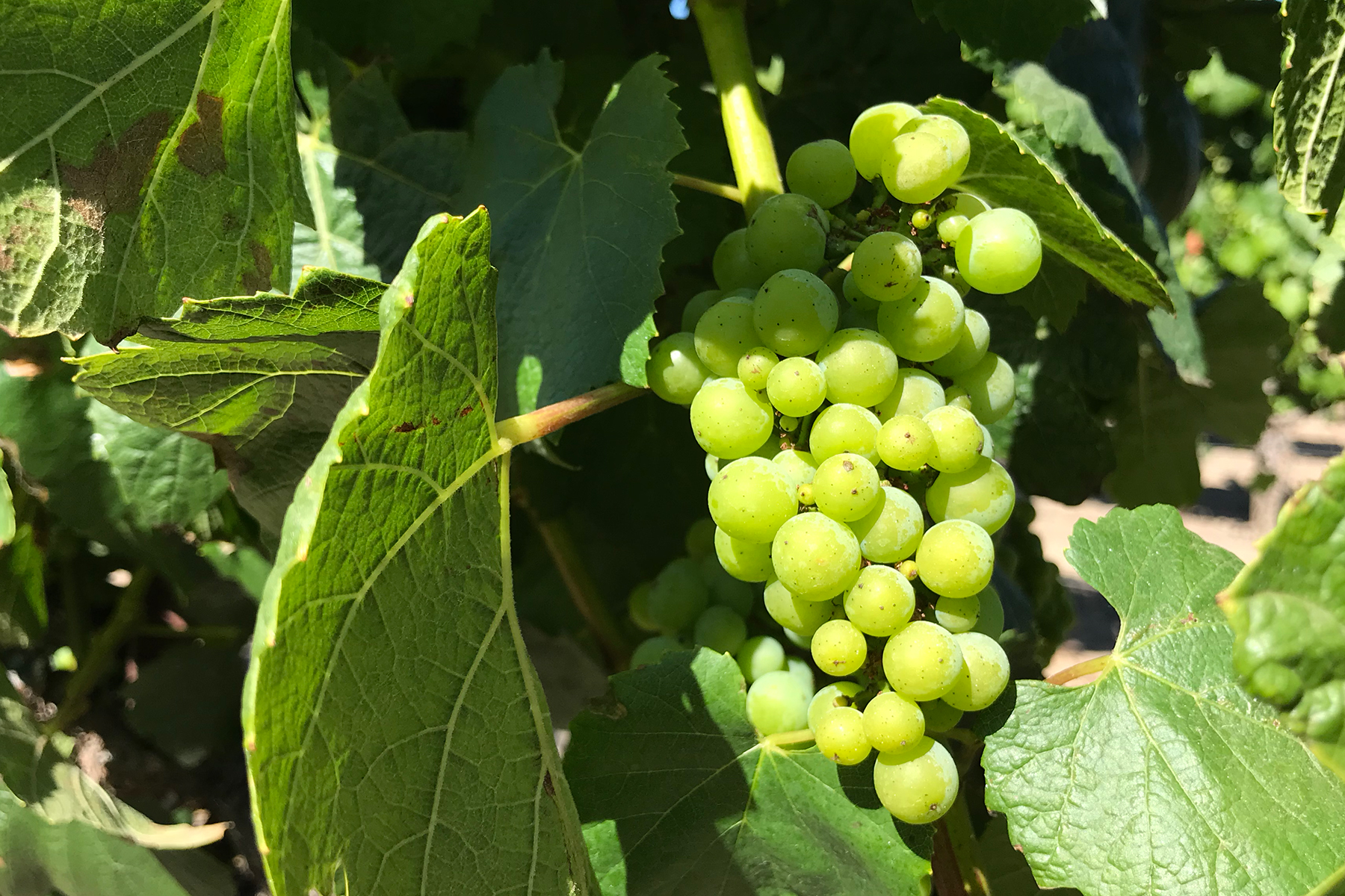 Dutton Sullivan Vineyard