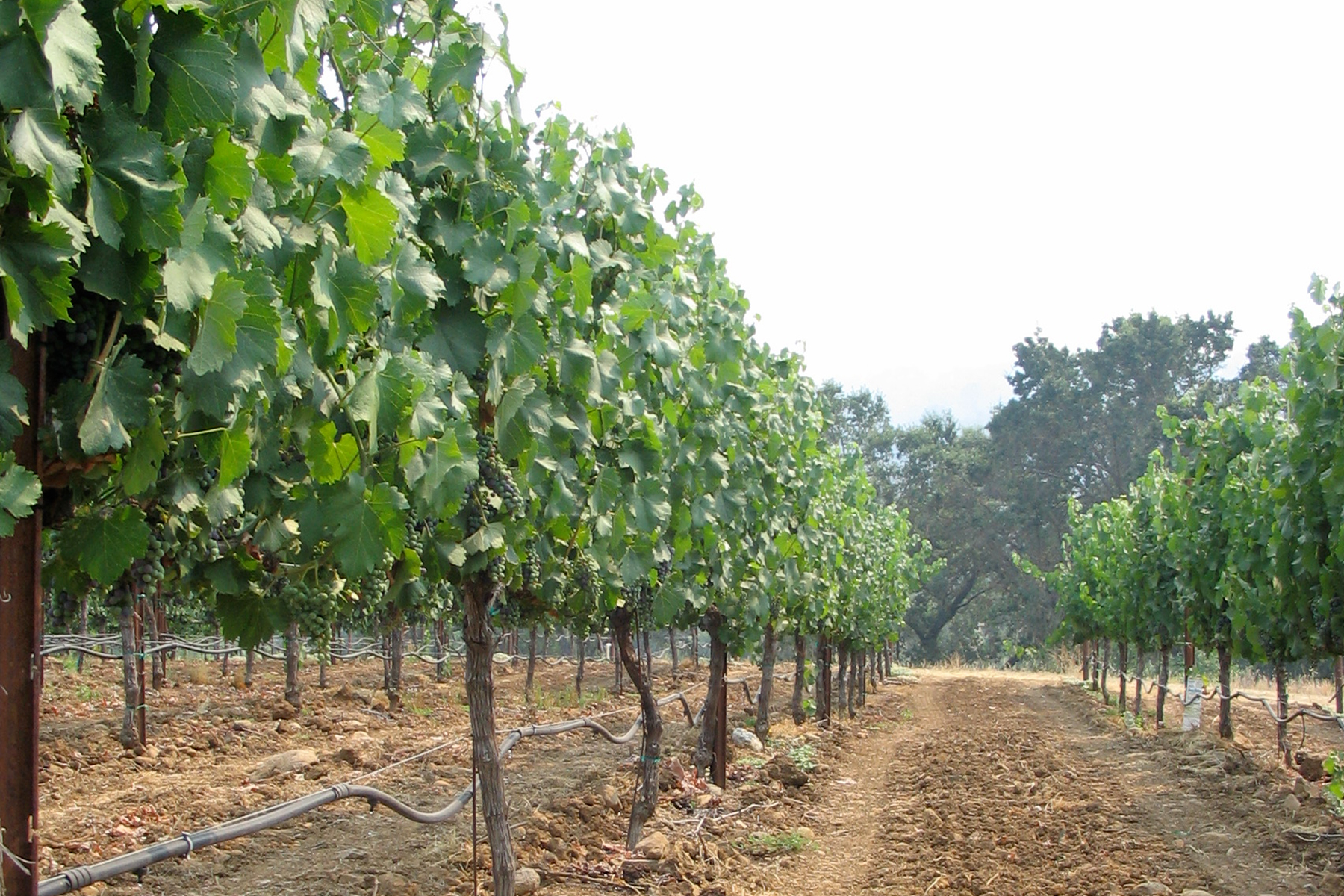 Juliana's Vineyard