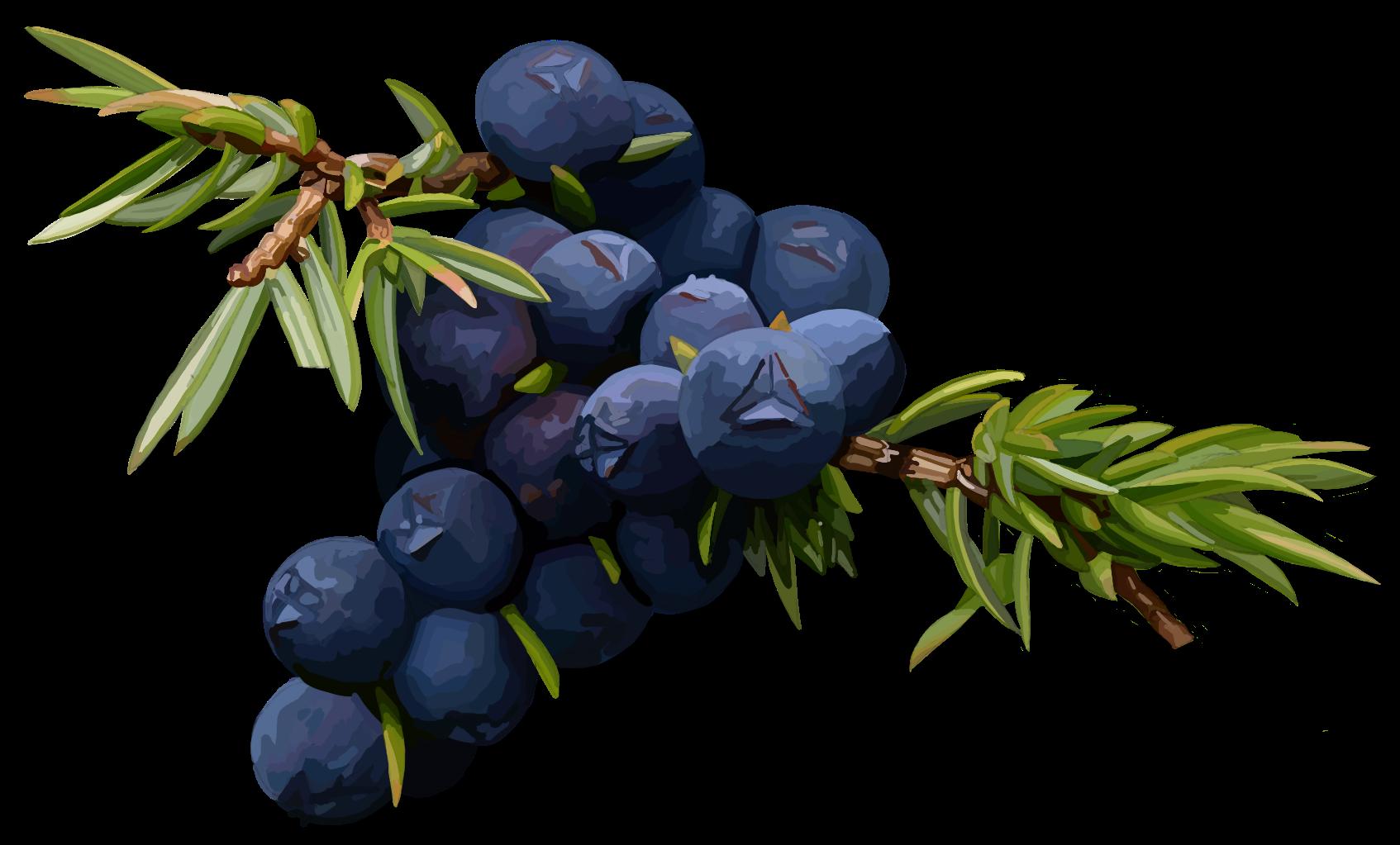 Juniper. Juniperus communis.