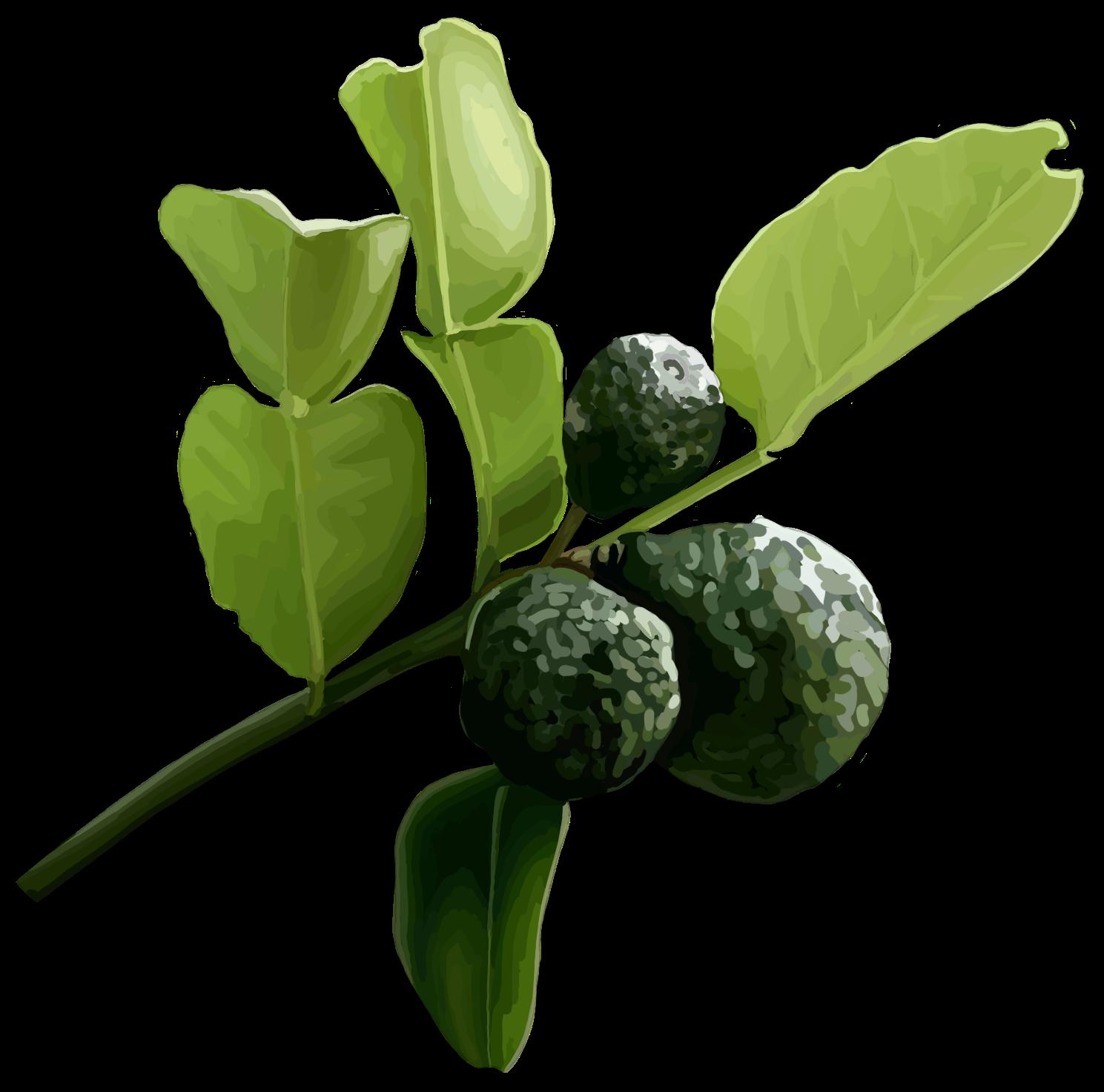 Kaffir lime. Citrus hystrix